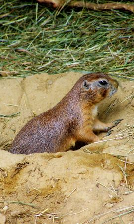 150190 download wallpaper Animals, Prairie Dog, Steppe Dog, Mink, Sand, Grass screensavers and pictures for free