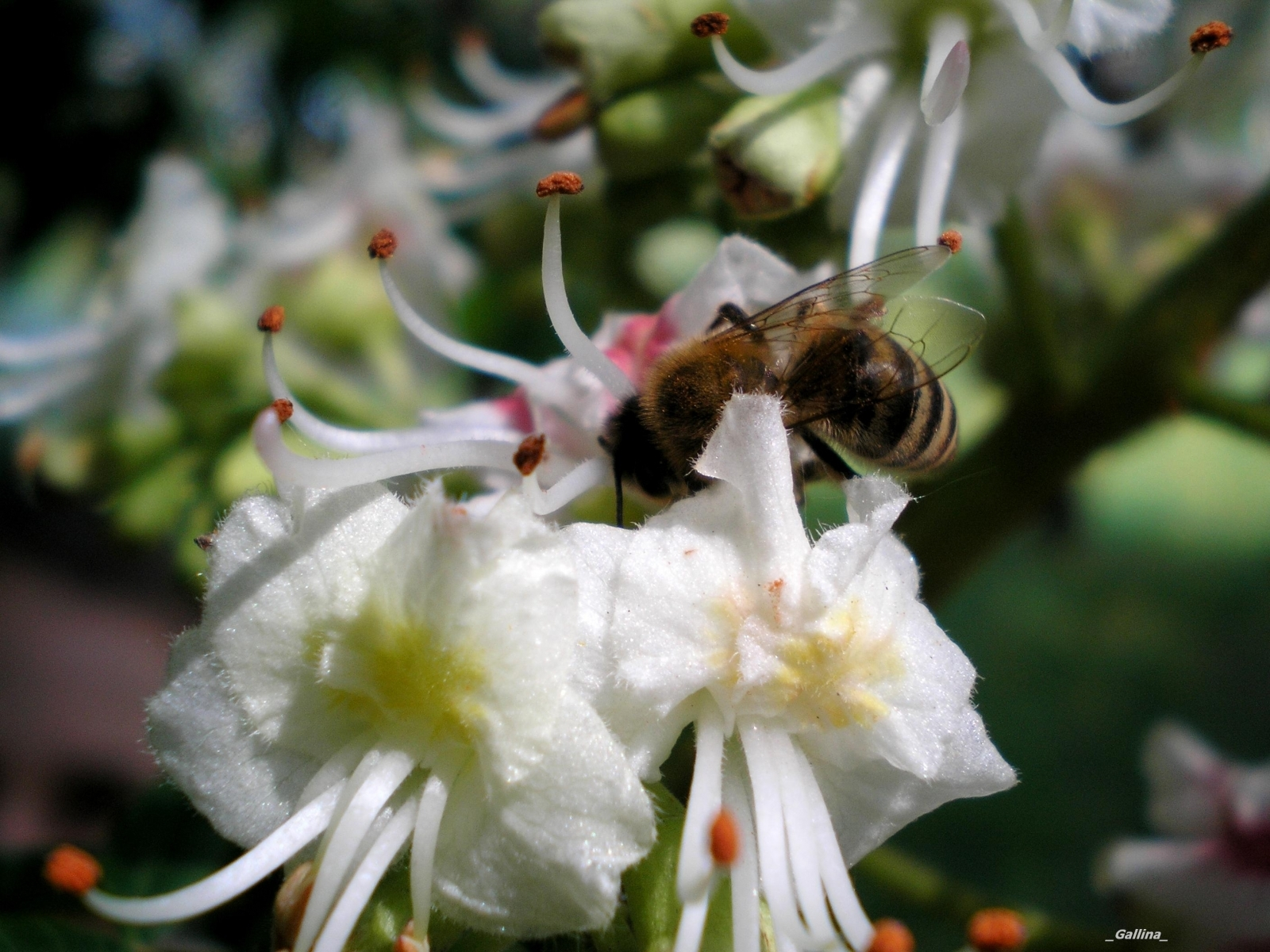 2699 Screensavers and Wallpapers Bees for phone. Download Plants, Flowers, Insects, Bees pictures for free
