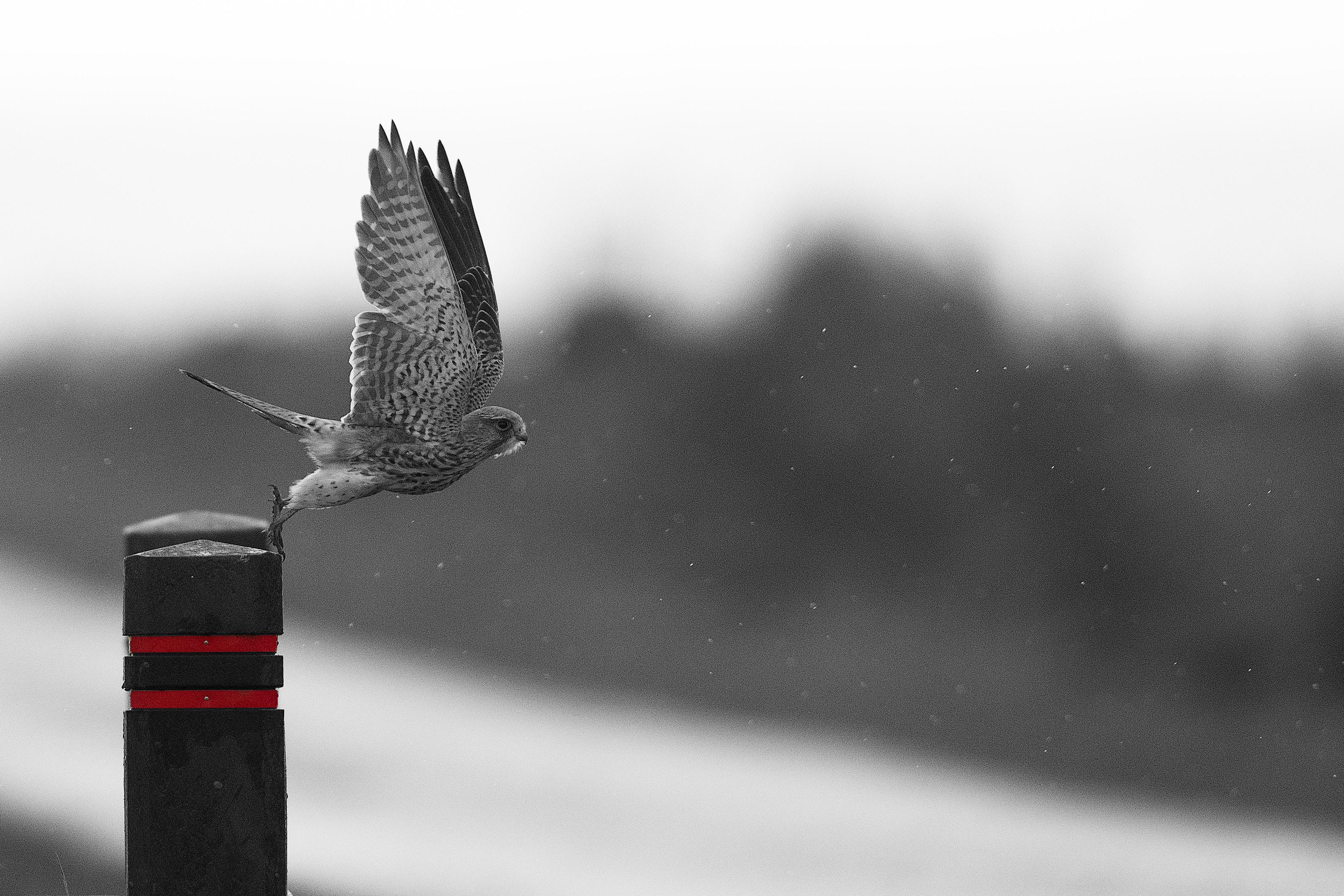143510 économiseurs d'écran et fonds d'écran Oiseau sur votre téléphone. Téléchargez Oiseau, Animaux, Prédateur, Vol, Faucon, Ailes, Aile, Vague, Rapace, Balayer images gratuitement