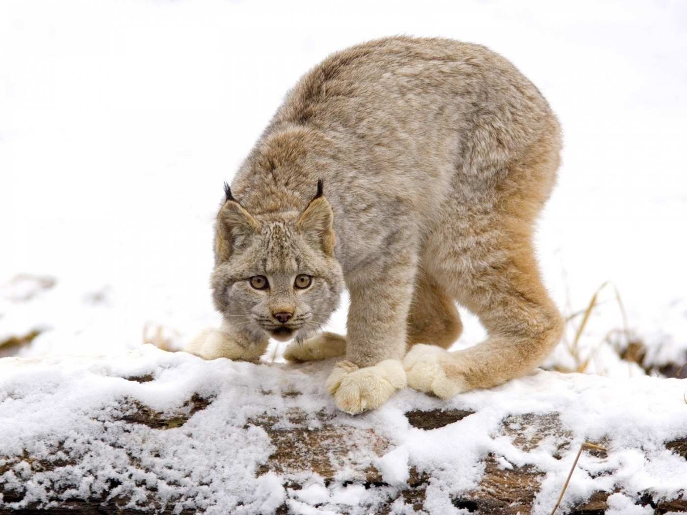 42531 download wallpaper Animals, Winter, Bobcats screensavers and pictures for free