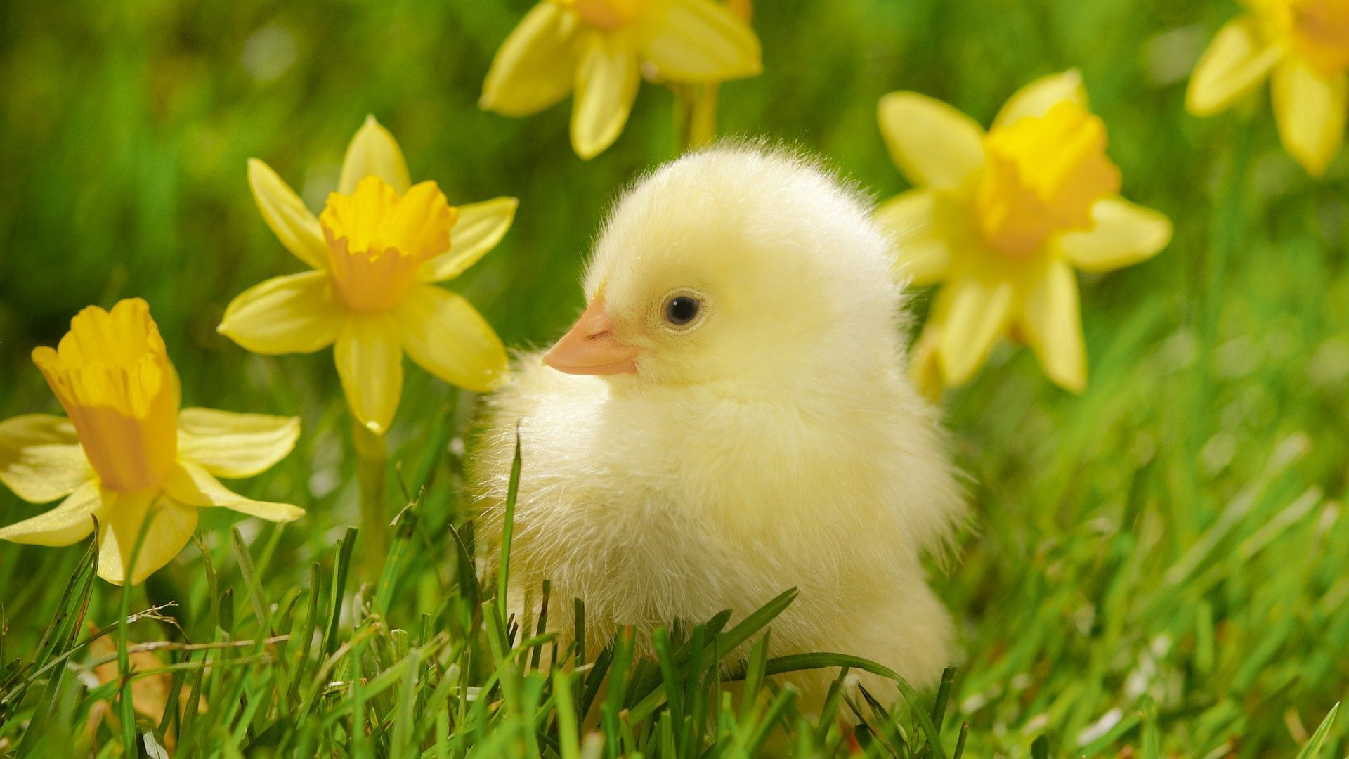 69966 download wallpaper Animals, Grass, Bird, To Lie Down, Lie, Chick, Chicken screensavers and pictures for free