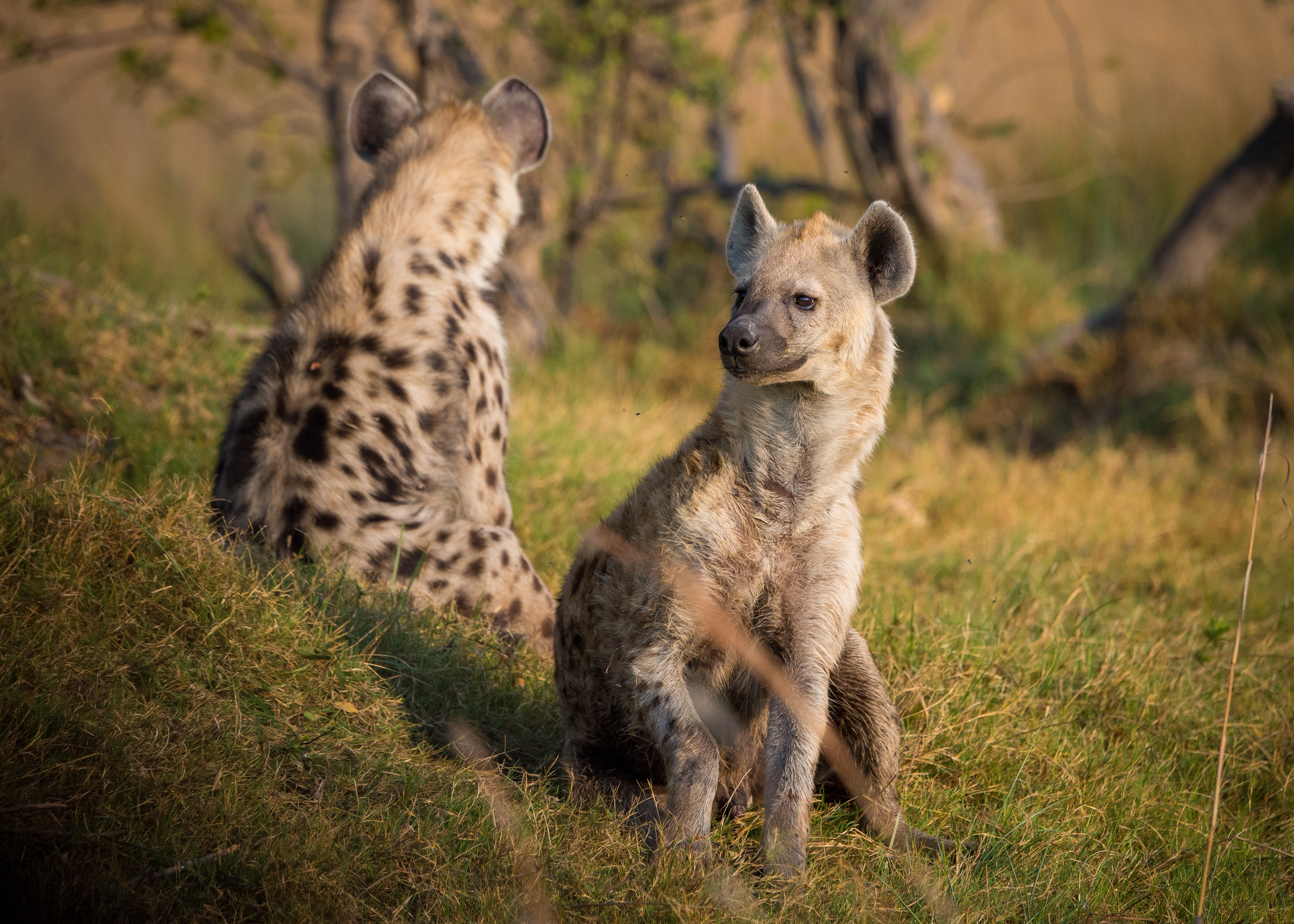 75434 Screensavers and Wallpapers Predators for phone. Download Animals, Grass, Predators, Hyenas pictures for free