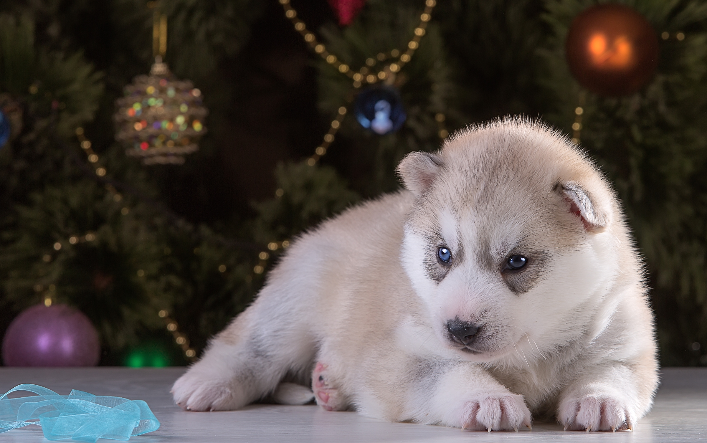 92854 download wallpaper Animals, Husky, Puppy, Christmas Toys, New Year's Toys, Spruce, Fir screensavers and pictures for free
