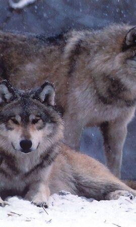 172 baixar papel de parede Animais, Lobos, Inverno - protetores de tela e imagens gratuitamente