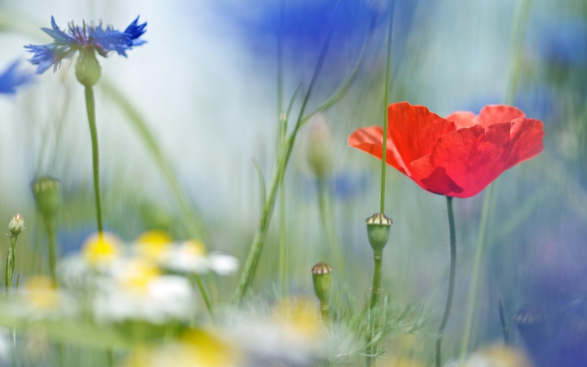 24294 скачать обои Растения, Цветы, Маки - заставки и картинки бесплатно