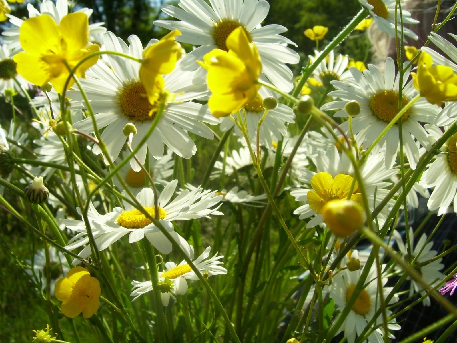 2716 скачать обои Растения, Цветы, Ромашки - заставки и картинки бесплатно
