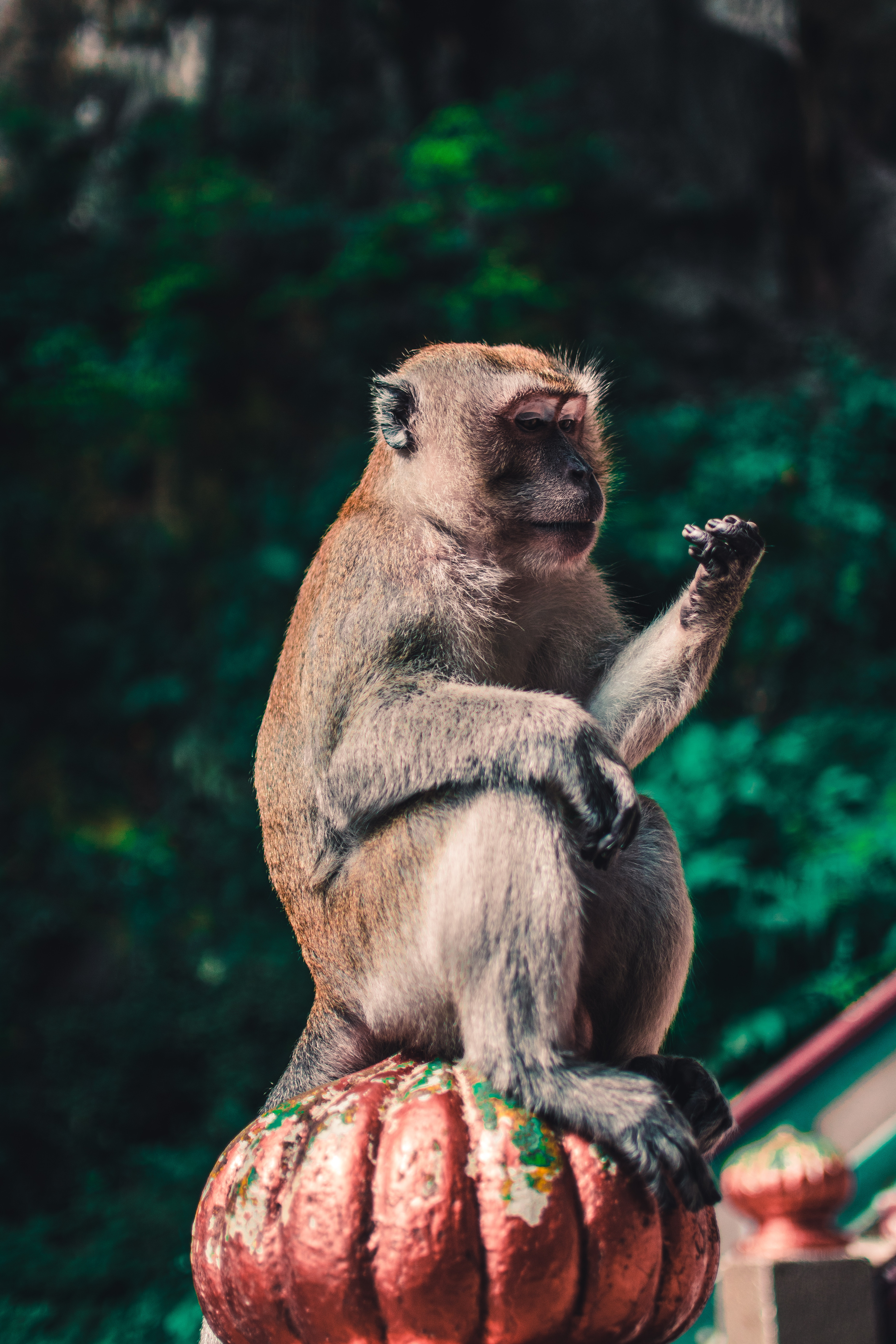 57753 download wallpaper Animals, Toque, Macaque, Monkey, Animal screensavers and pictures for free