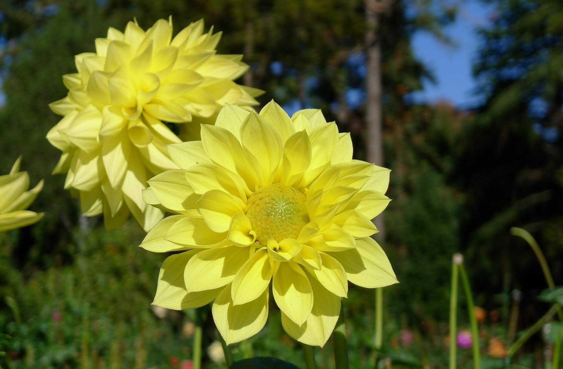 115002 скачать Желтые обои на телефон бесплатно, Цветы, Крупный План, Георгины Желтые картинки и заставки на мобильный