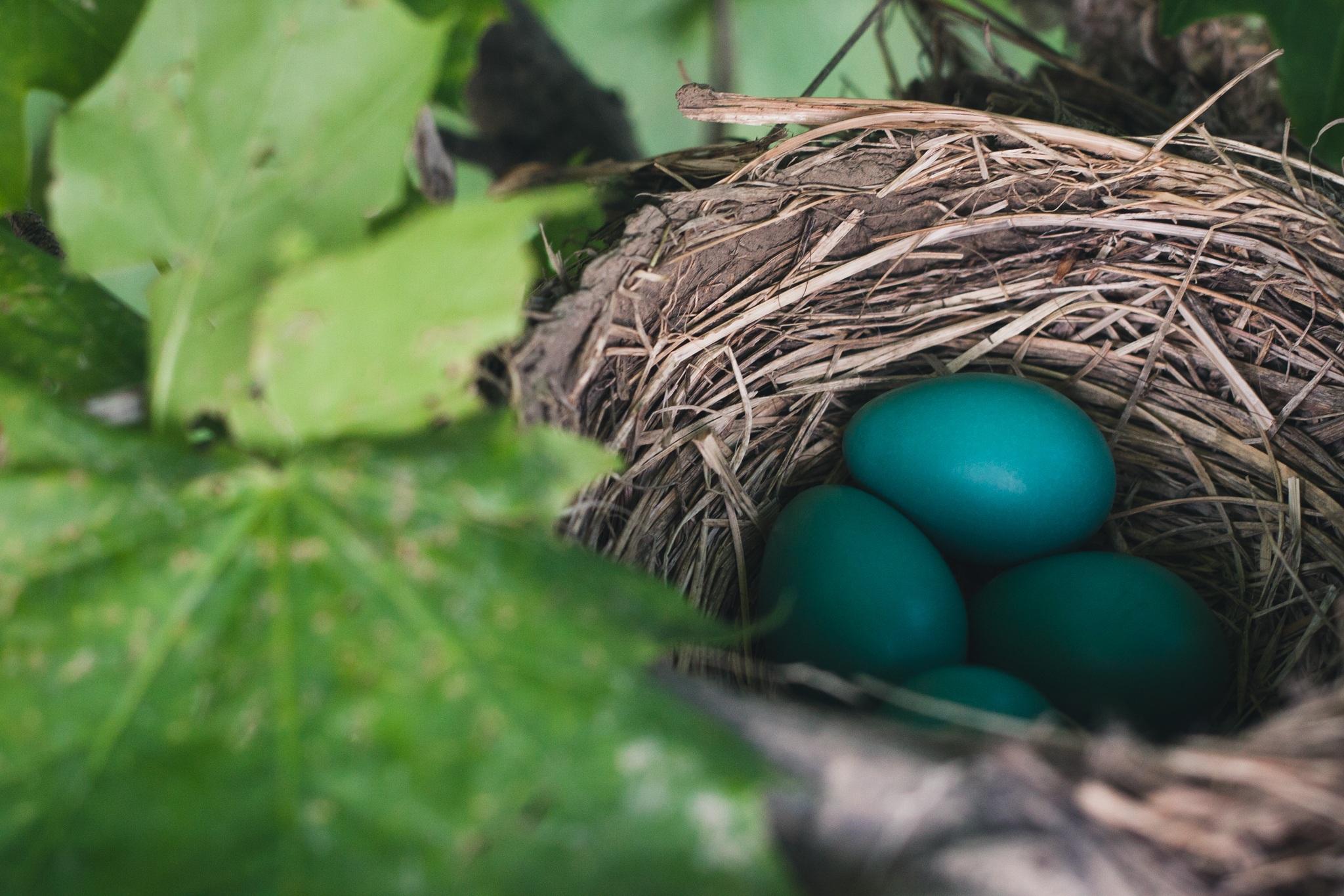 52613 Заставки и Обои Яйца на телефон. Скачать Природа, Яйца, Гнездо, Дрозд картинки бесплатно