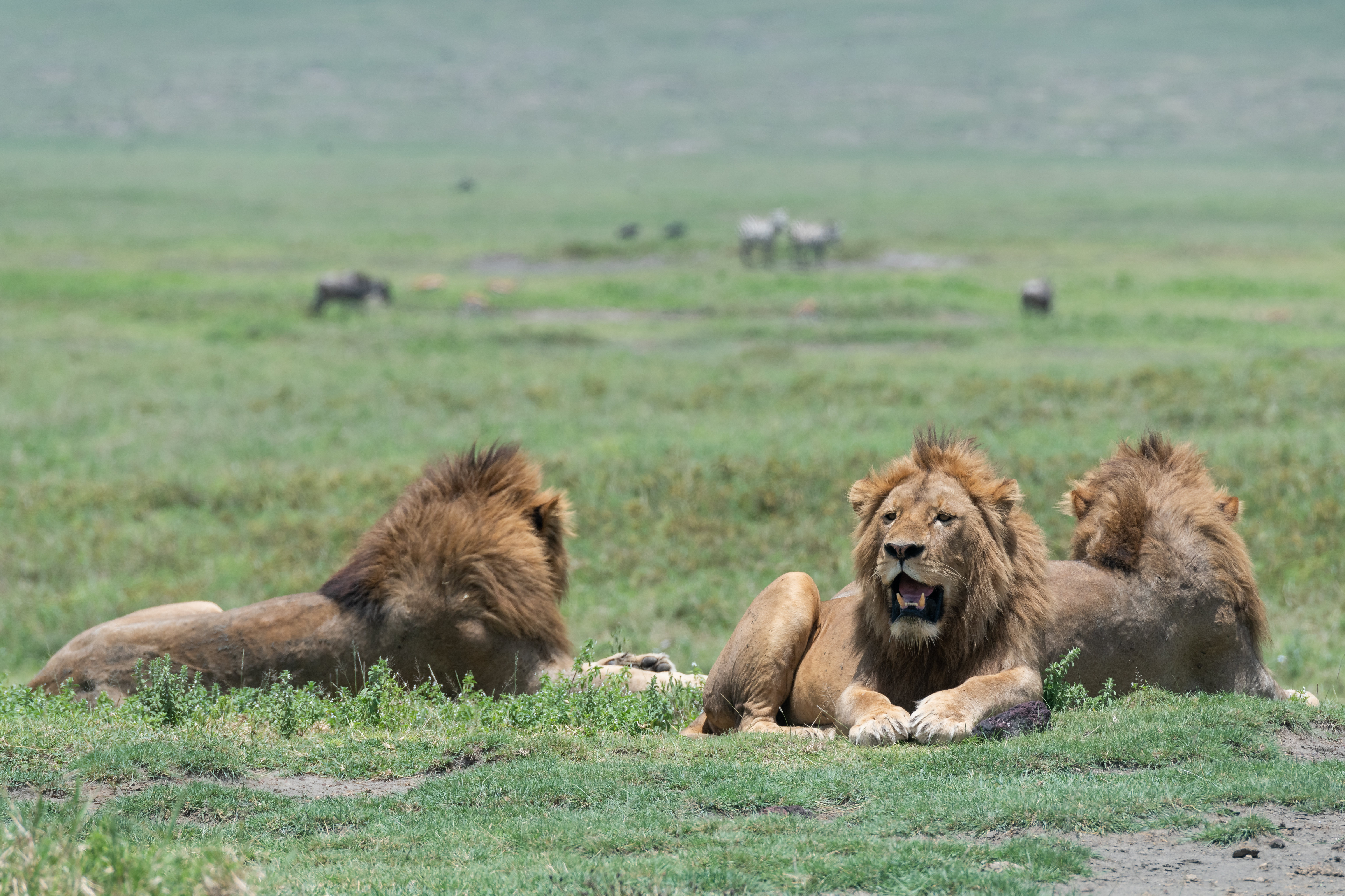 90780 download wallpaper Animals, Lion, Predators, To Fall, Mouth, Grass, Lions screensavers and pictures for free