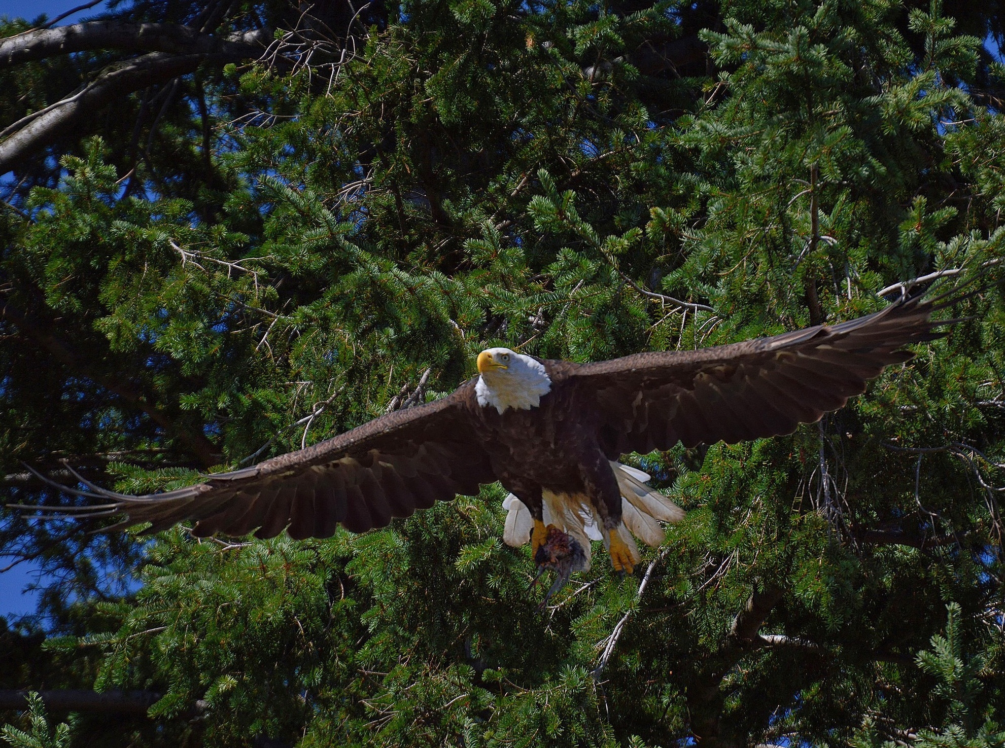 124593 download wallpaper Animals, Bald Eagle, White-Headed Eagle, Bird, Predator, Flight, Trees screensavers and pictures for free