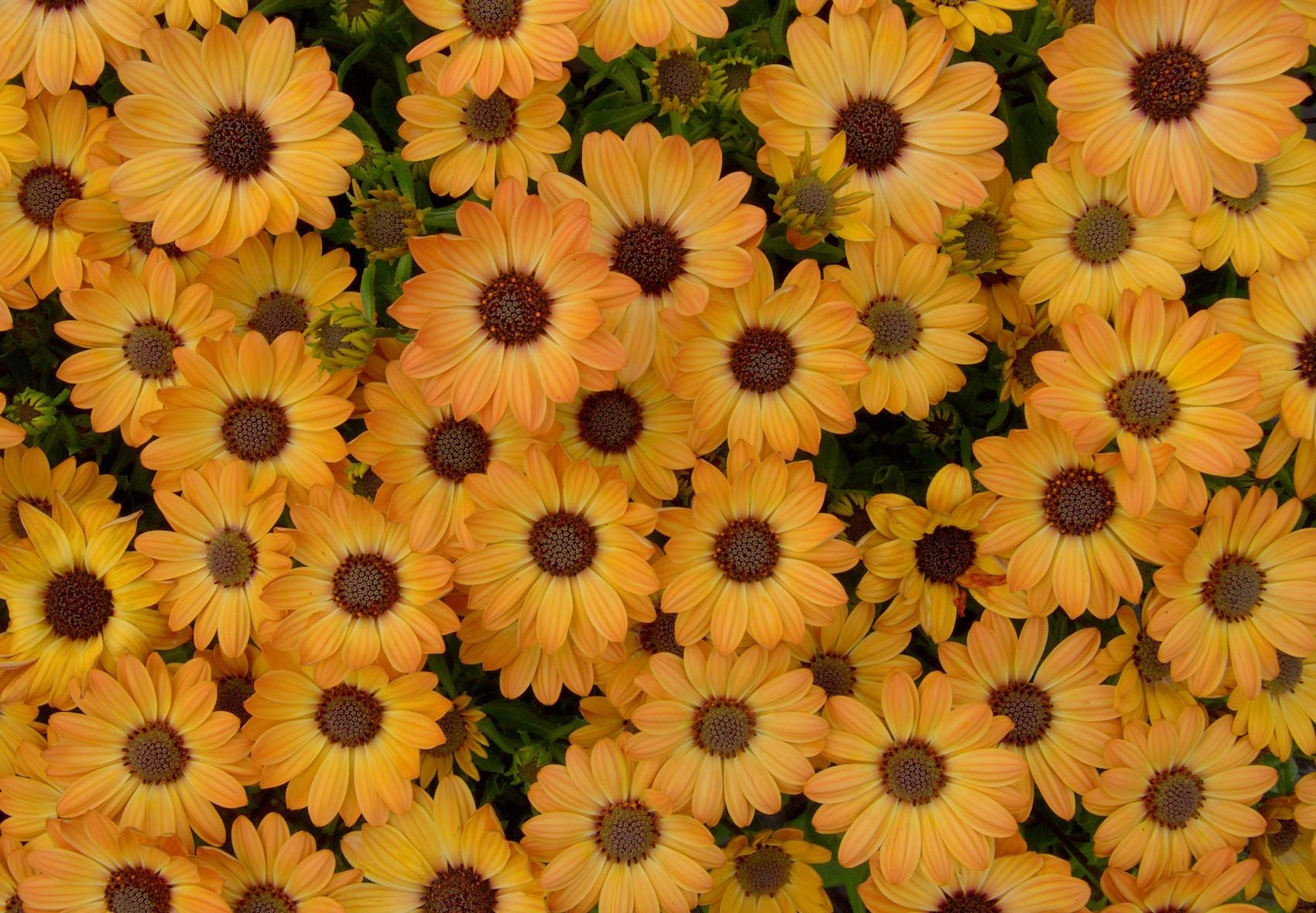 70997 скачать обои Цветы, Диморфотека, Лепестки, Клумба - заставки и картинки бесплатно