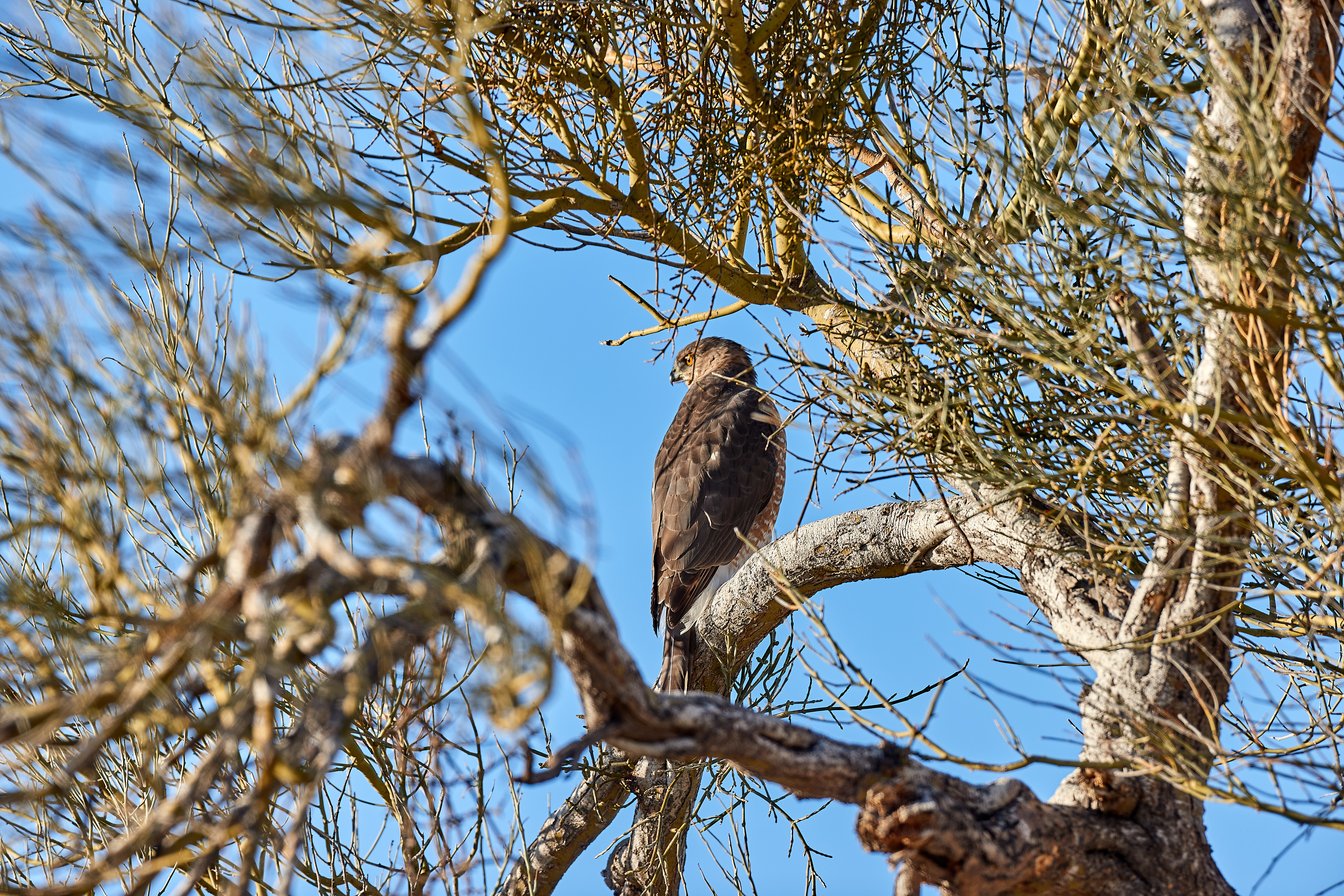 132063 download wallpaper Animals, Hawk, Bird, Predator, Brown, Wood, Tree, Branches screensavers and pictures for free