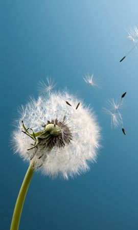 16547 download wallpaper Plants, Dandelions screensavers and pictures for free