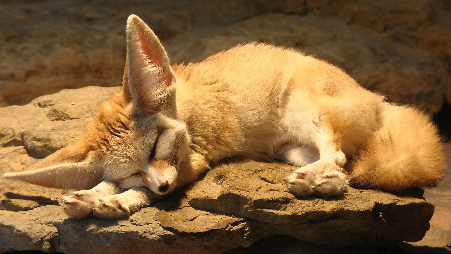 111574 Screensavers and Wallpapers Fox for phone. Download Animals, Fox, Ears, Sleep, Dream, Fenech pictures for free