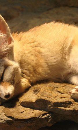 111574壁紙のダウンロード動物, Fenech, フェネック, 狐, キツネ, 睡眠, 夢, 耳-スクリーンセーバーと写真を無料で