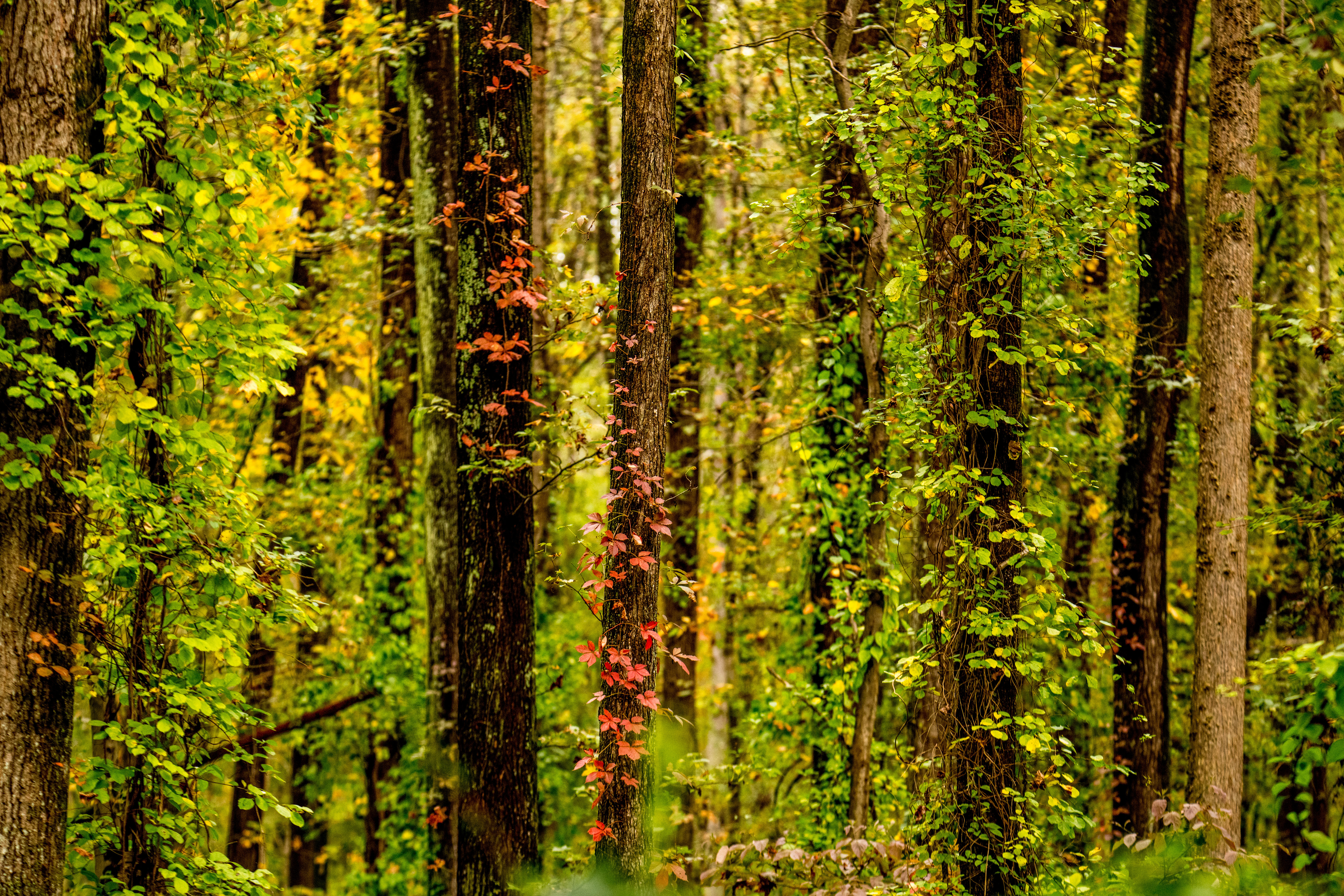 141116 download wallpaper Nature, Trees, Forest, Ivy, Autumn screensavers and pictures for free