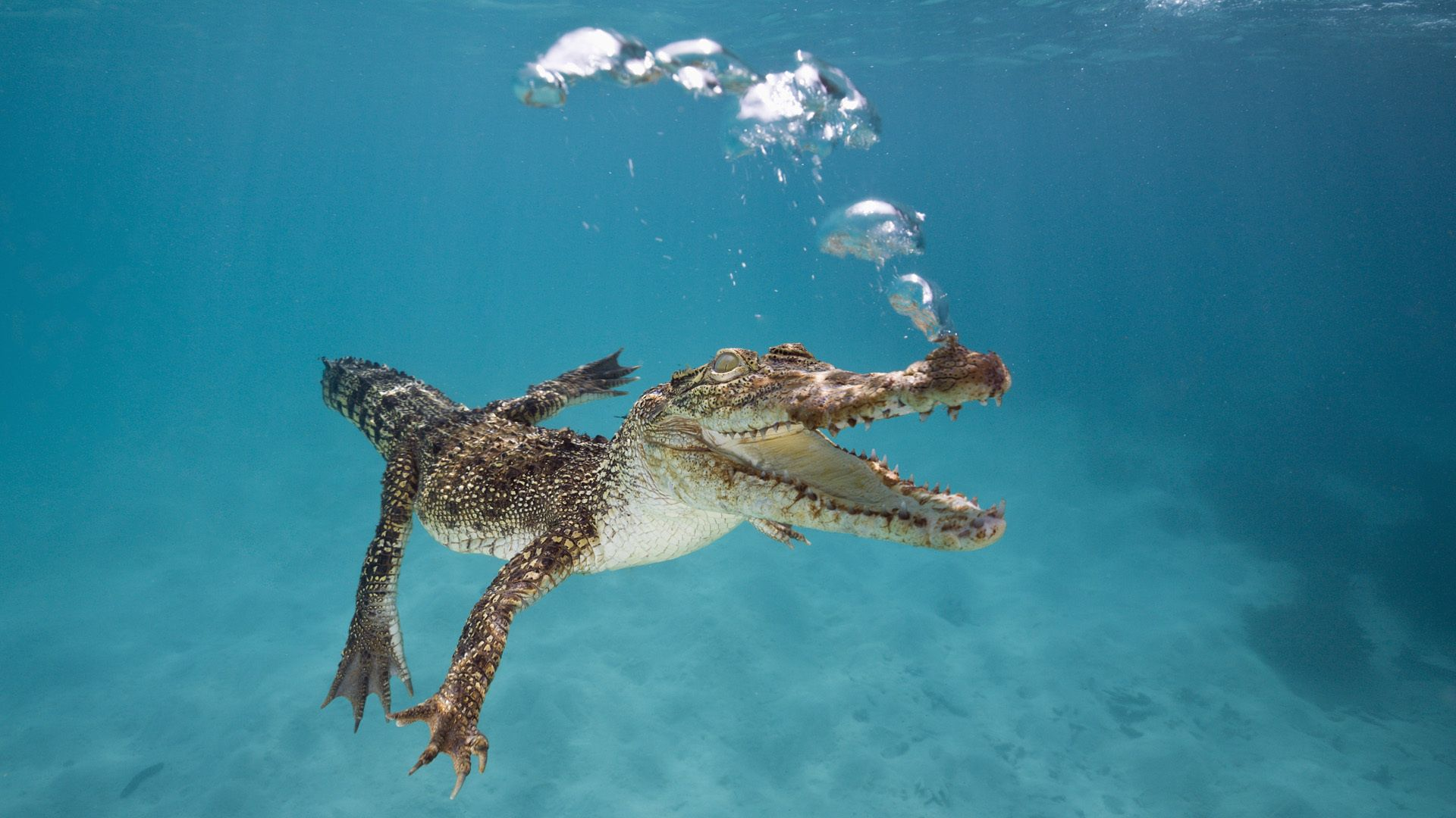 97280 download wallpaper Animals, Crocodile, Young, Joey, To Swim, Swim, Underwater World, Breath, Bubbles screensavers and pictures for free