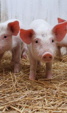 121557 download wallpaper Animals, Pig, Hay, Lot, Pigsty screensavers and pictures for free