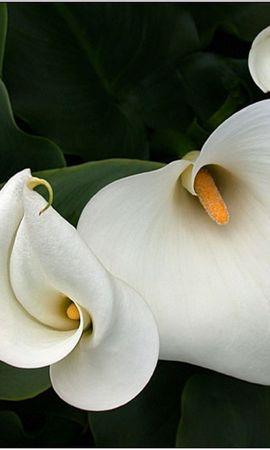 5242 скачать обои Растения, Цветы - заставки и картинки бесплатно