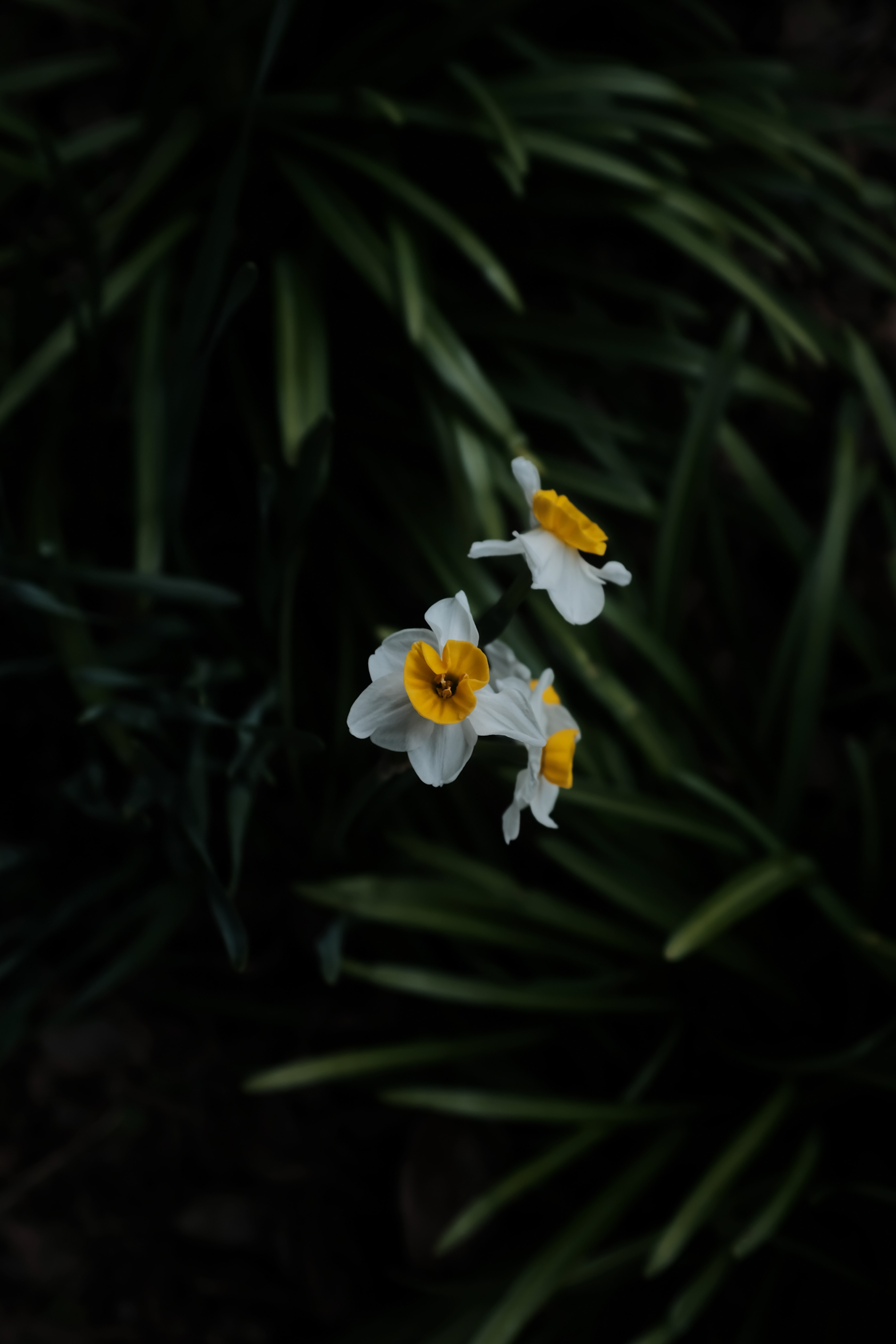 63602 Заставки и Обои Нарциссы на телефон. Скачать Цветы, Нарциссы, Растение, Макро, Размытие картинки бесплатно