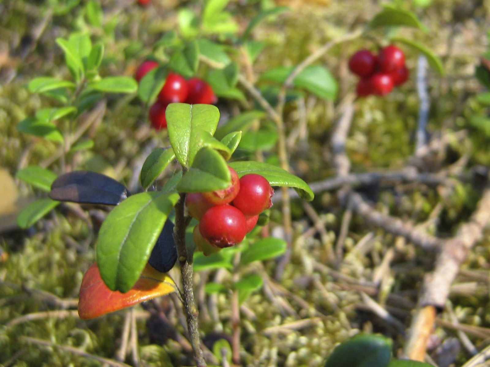130367 download wallpaper Food, Grass, Ripe, Berries screensavers and pictures for free