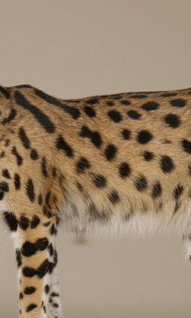 142158 скачать обои Животные, Саванна, Кошка, Окрас, Пятнистый, Большой - заставки и картинки бесплатно
