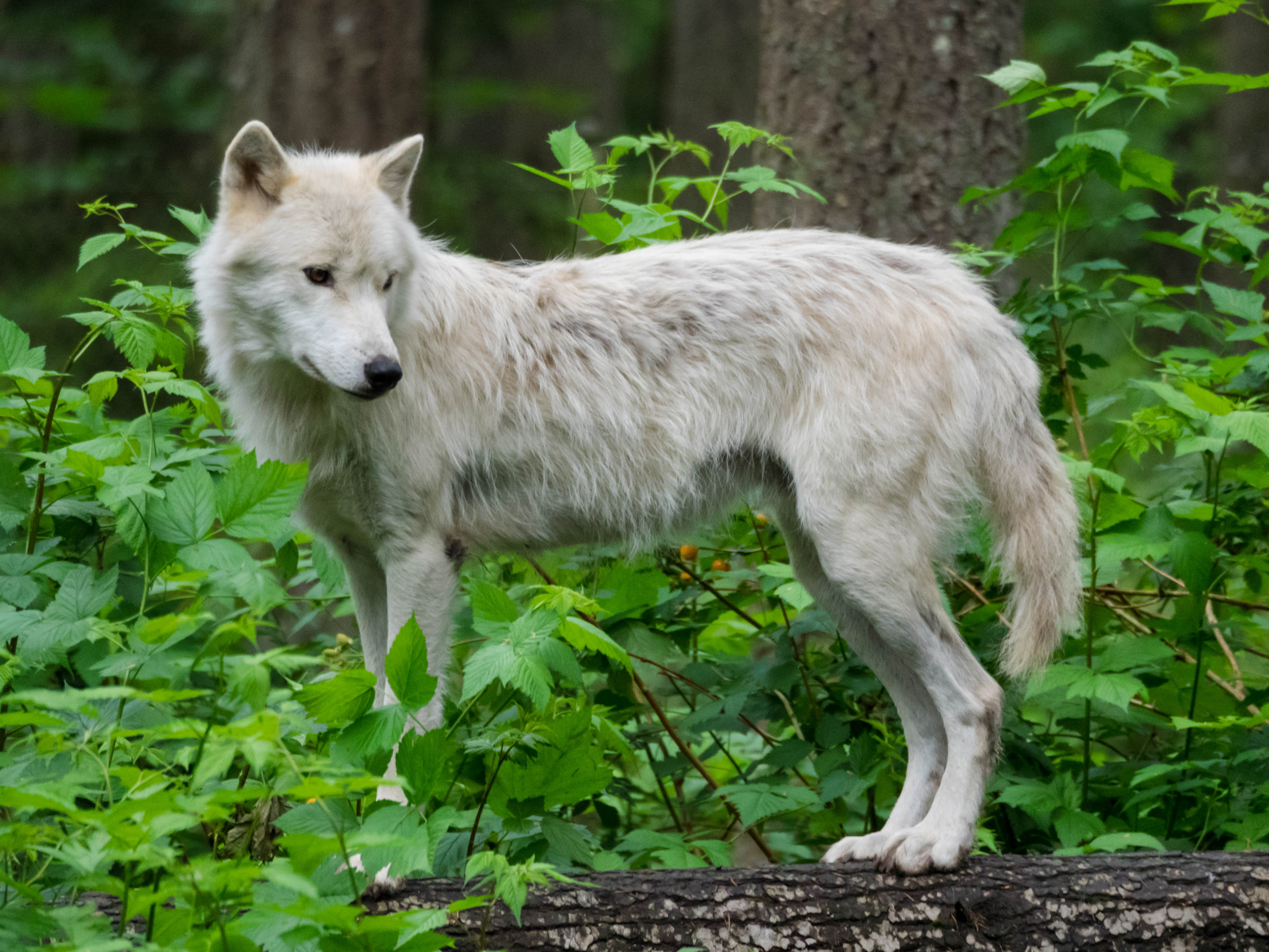 77828 download wallpaper Animals, Wolf, Beast, Animal, Wildlife screensavers and pictures for free