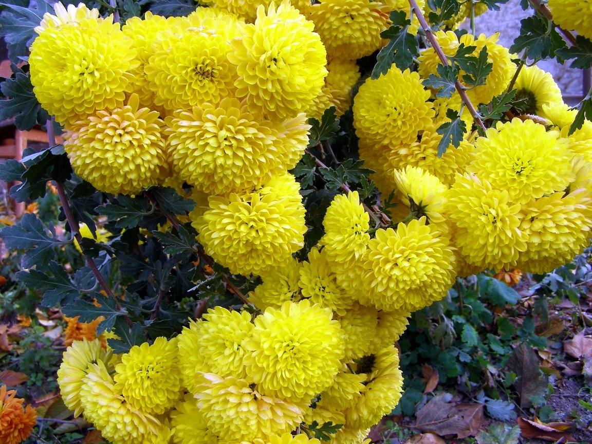 5087 скачать обои Растения, Цветы, Пионы - заставки и картинки бесплатно
