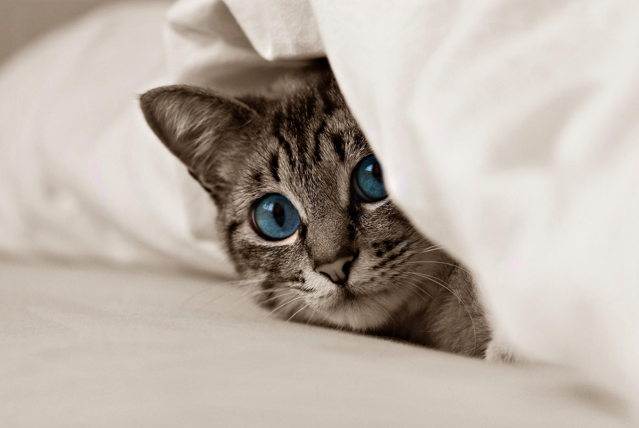 80083 Screensavers and Wallpapers Kitten for phone. Download Cat, Animals, Kitty, Kitten, Muzzle, Blue Eyes pictures for free