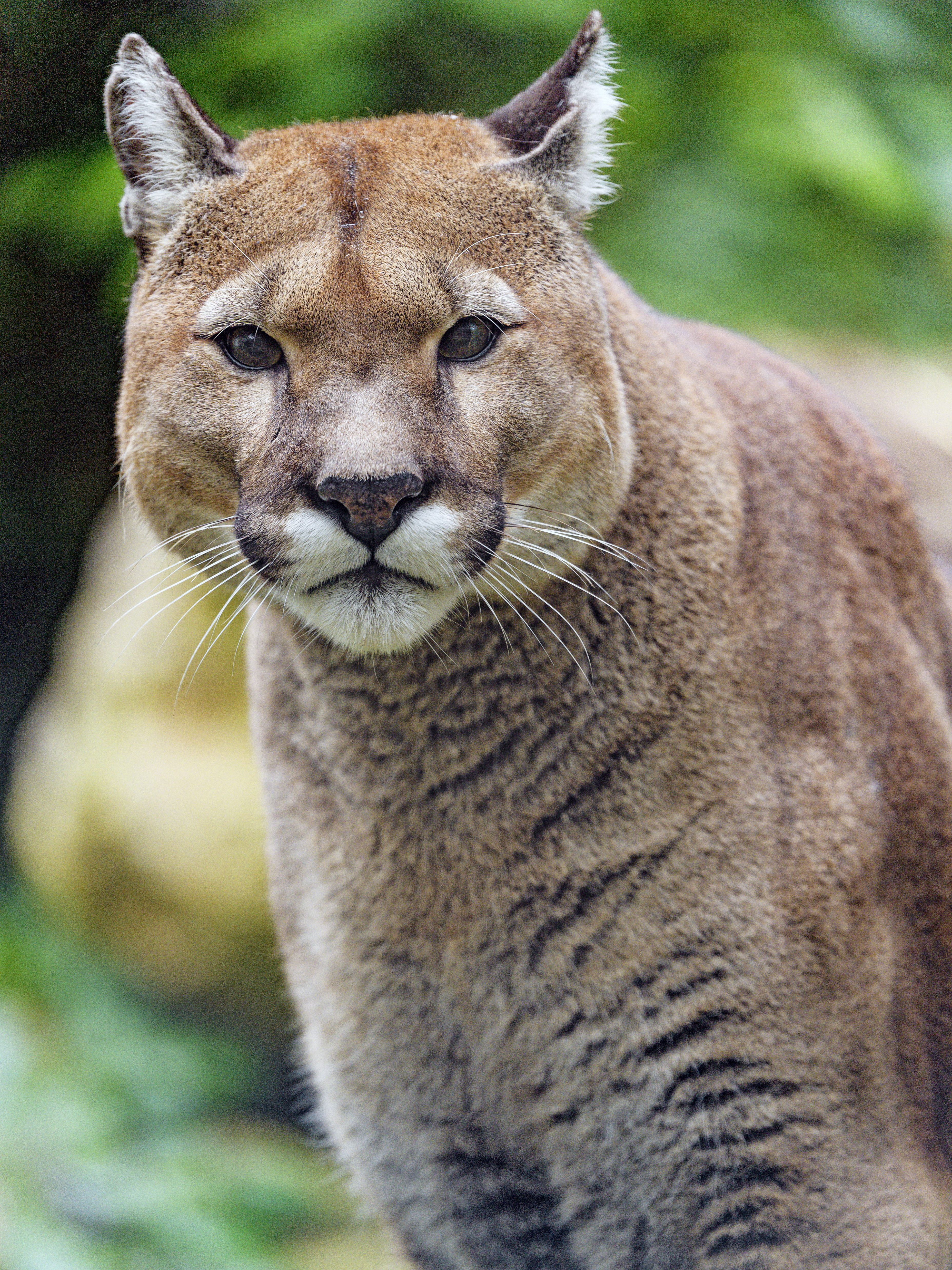 130282 download wallpaper Animals, Puma, Big Cat, Predator, Sight, Opinion screensavers and pictures for free