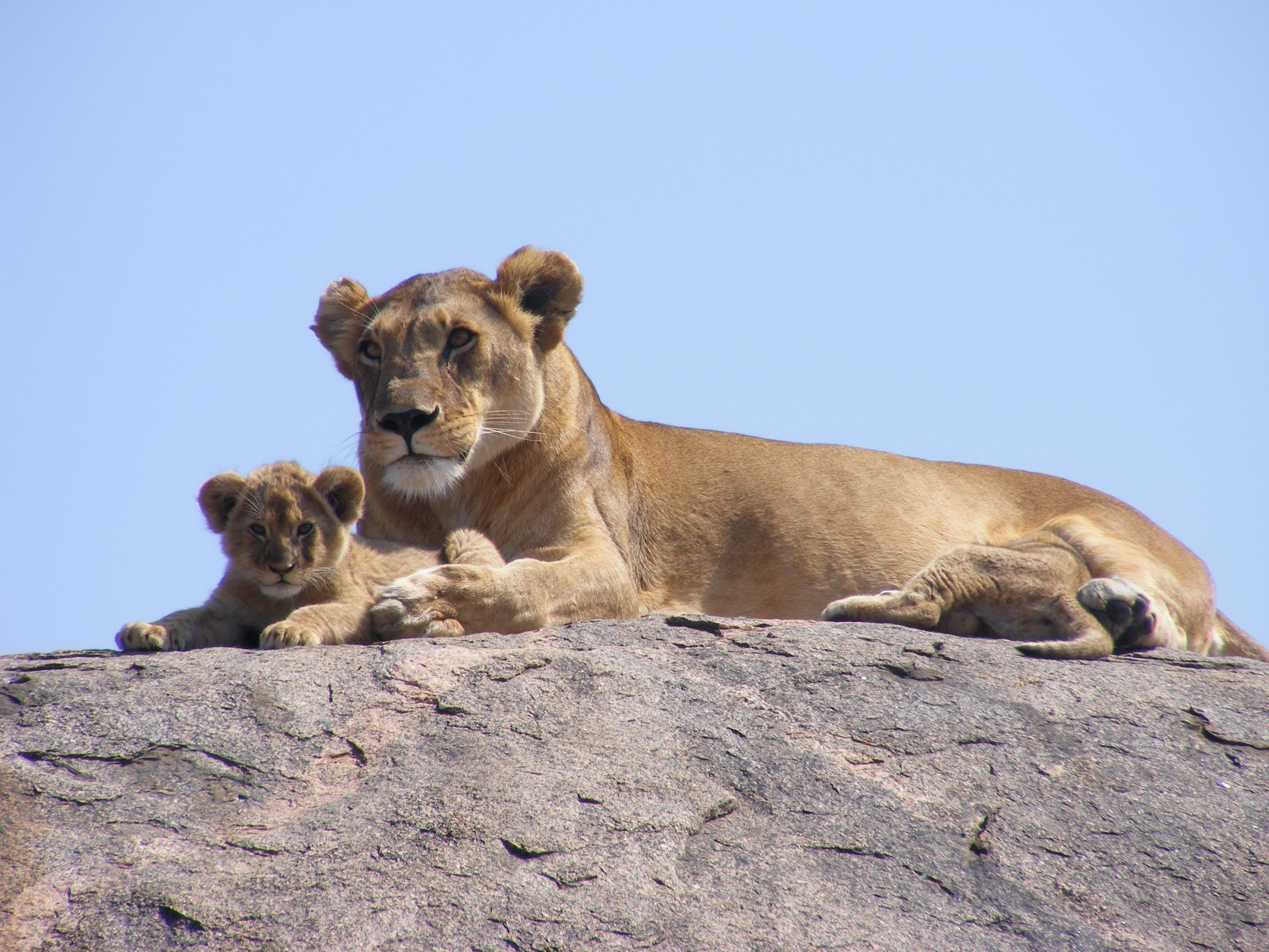 60536 download wallpaper Animals, Africa, Safari, Young, Joey, Lions screensavers and pictures for free