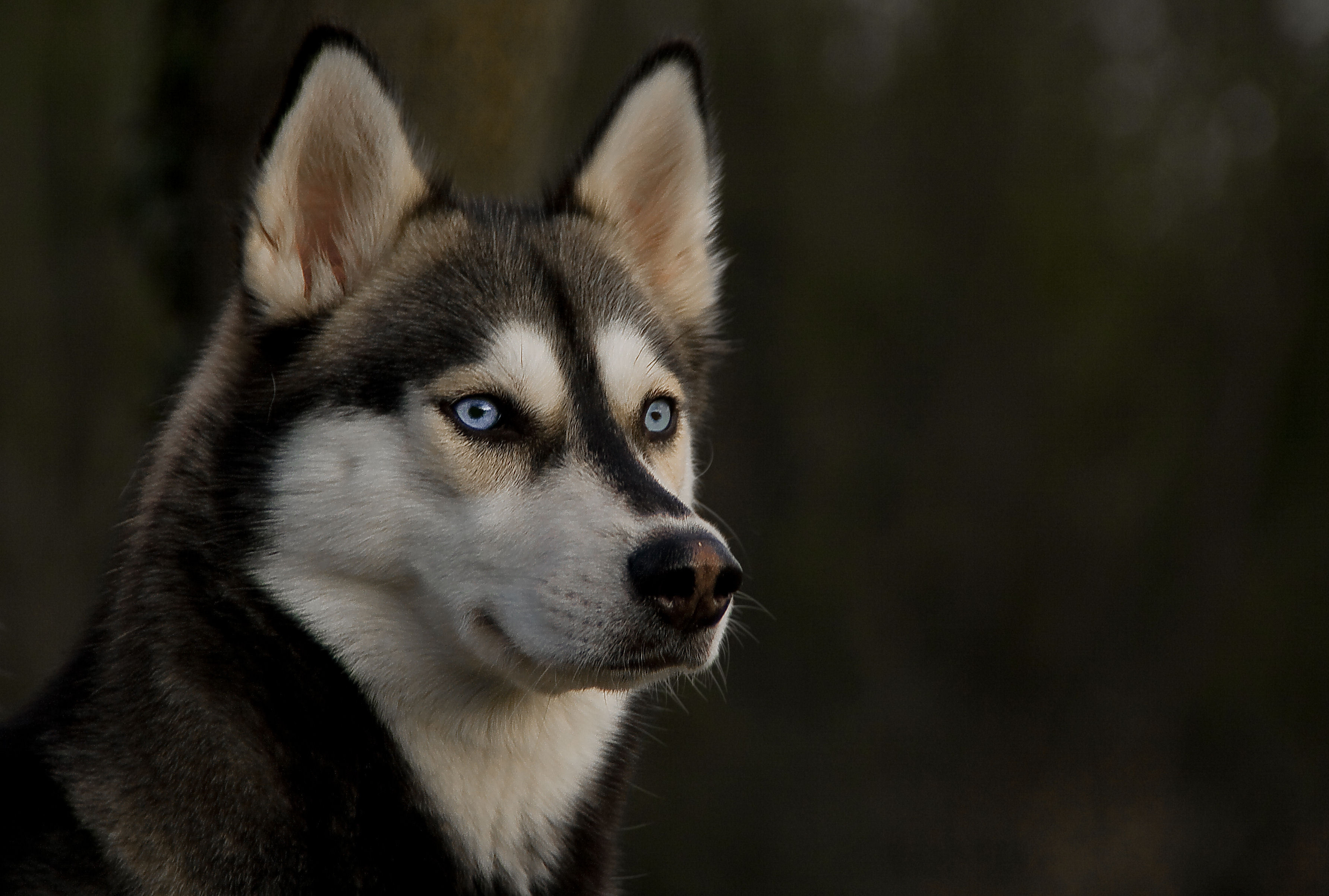 68444 Screensavers and Wallpapers Husky for phone. Download Animals, Dog, Muzzle, Sight, Opinion, Husky, Haska pictures for free