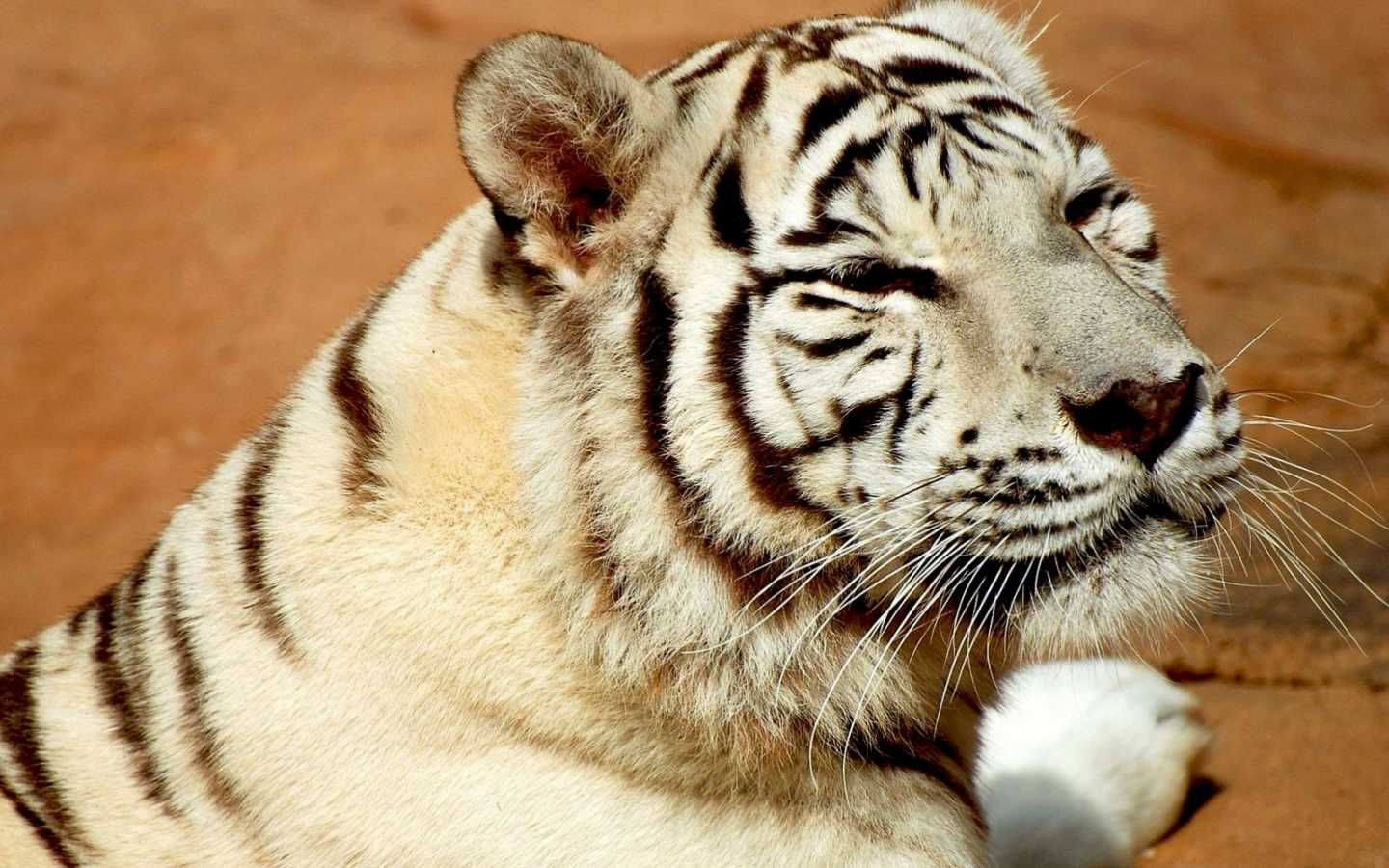 49119 download wallpaper Animals, Tigers screensavers and pictures for free