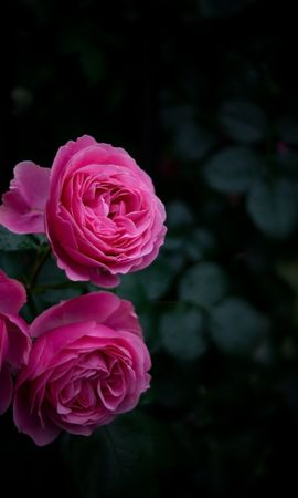 140873 Screensavers and Wallpapers Dark for phone. Download Dark, Rose Flower, Rose, Buds, Bush, Garden, Pink pictures for free