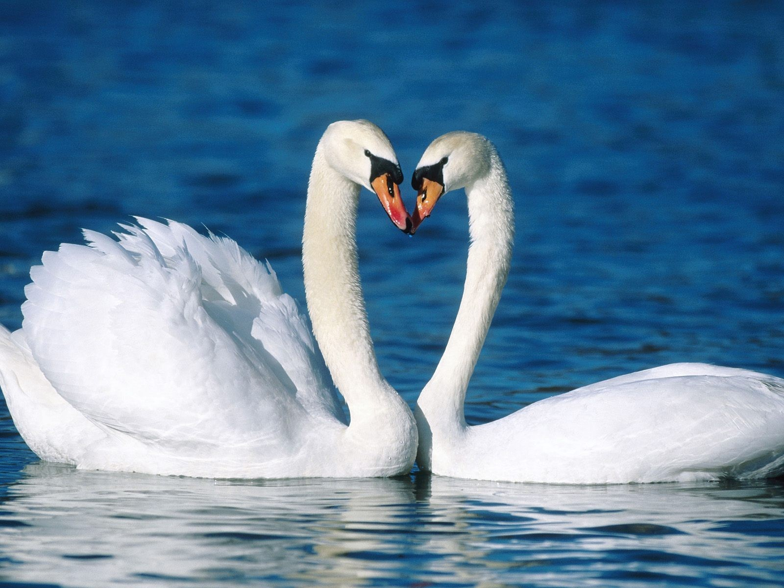 19656 download wallpaper Animals, Birds, Swans screensavers and pictures for free