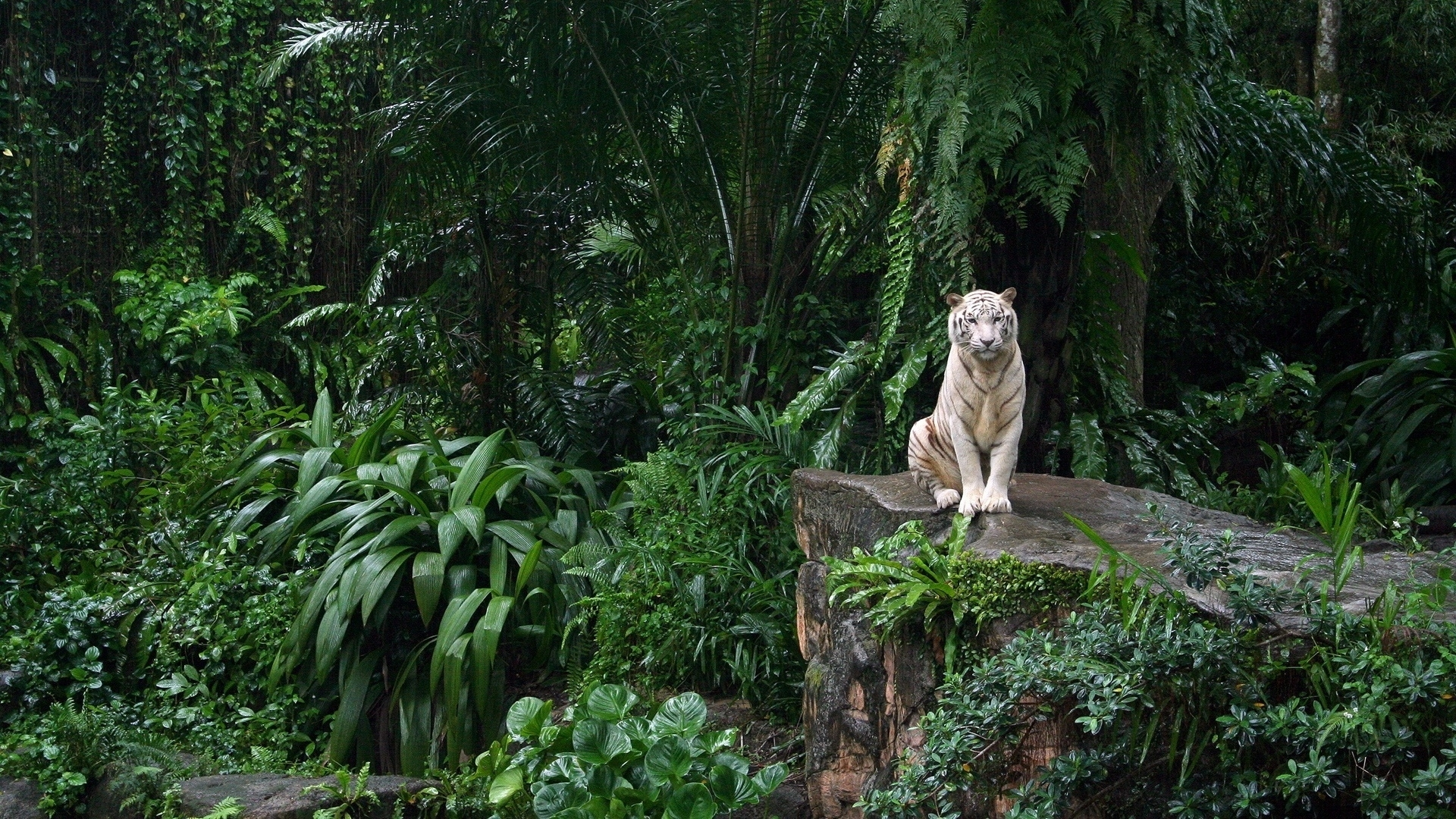 47836 download wallpaper Animals, Tigers screensavers and pictures for free