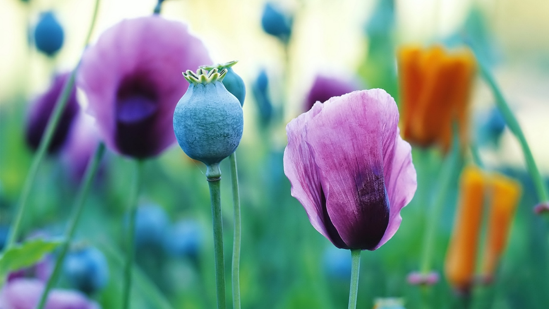 26610 скачать обои Растения, Цветы, Маки - заставки и картинки бесплатно