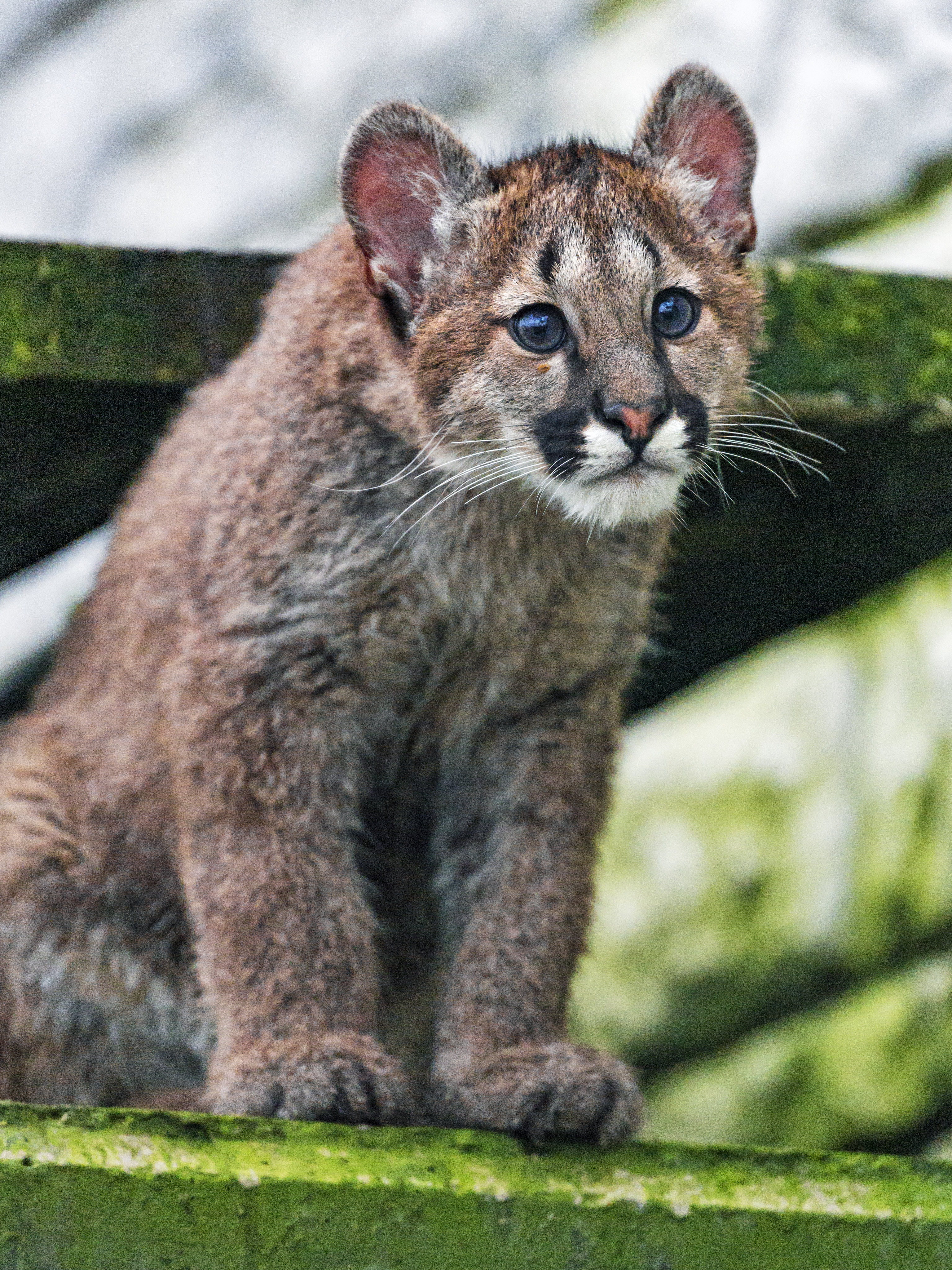 92812 download wallpaper Animals, Puma, Young, Joey, Sight, Opinion, Nice, Sweetheart screensavers and pictures for free