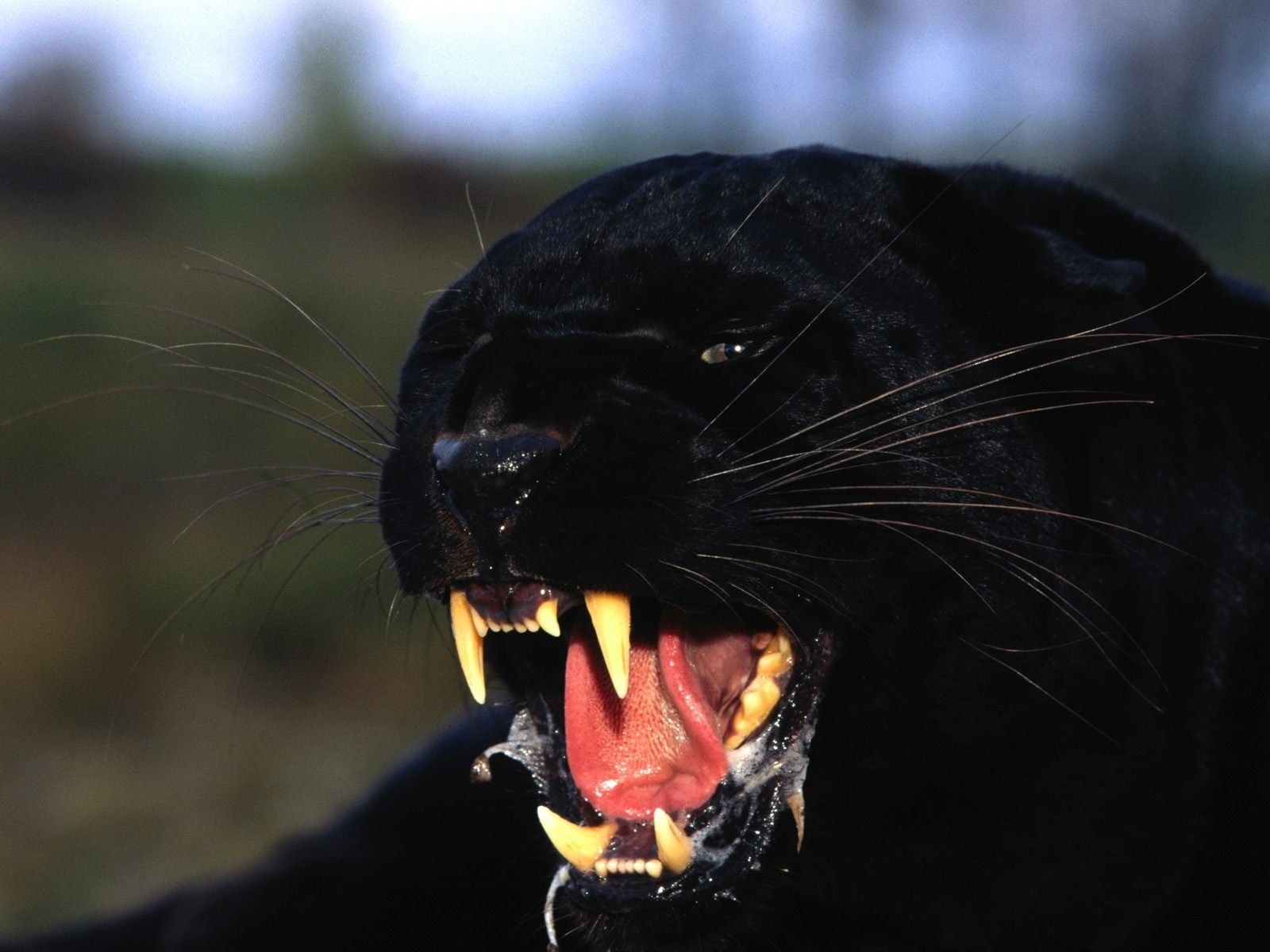 Download mobile wallpaper Animals, Panthers for free.