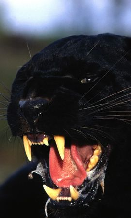 8635 download wallpaper Animals, Panthers screensavers and pictures for free