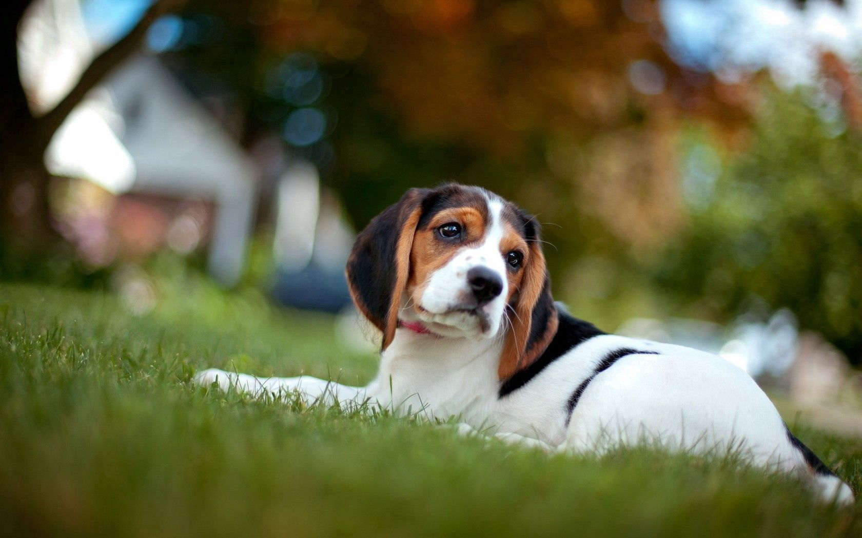 57044 descargar fondo de pantalla Animales, Cachorro, Hierba, Tumbarse, Mentir, Color: protectores de pantalla e imágenes gratis