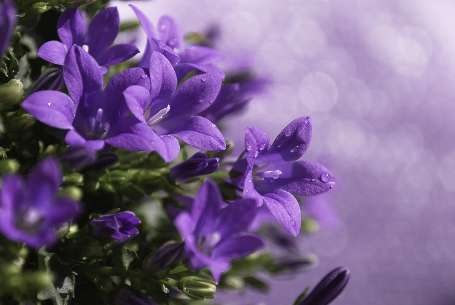 148563 скачать обои Цветы, Колокольчики, Капли, Сиреневые, Распущенные - заставки и картинки бесплатно