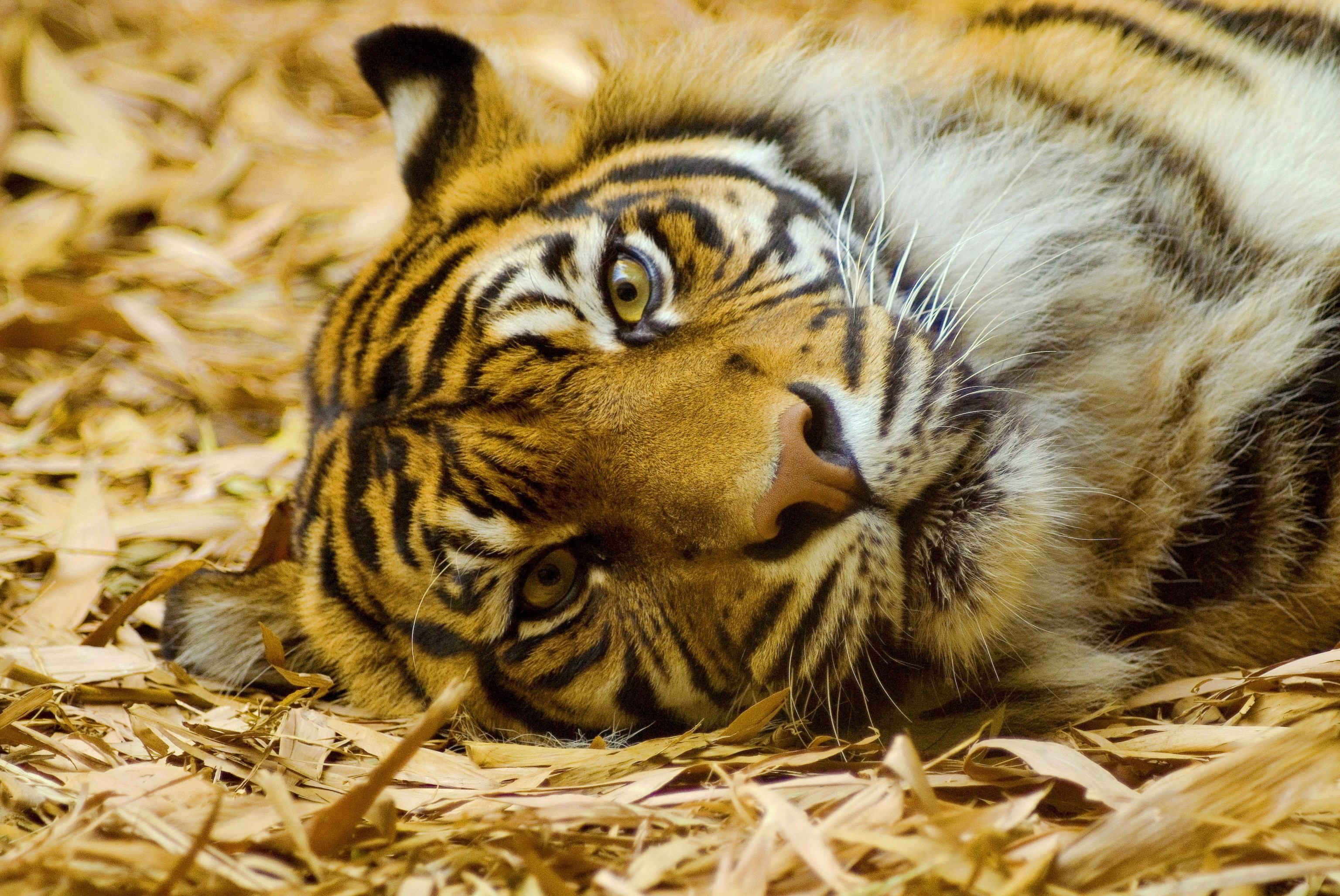 58326 download wallpaper Animals, Tiger, Muzzle, Hay, To Lie Down, Lie screensavers and pictures for free