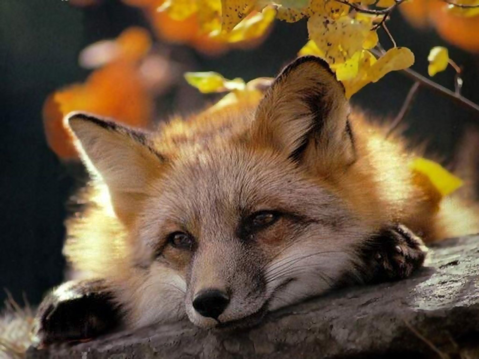21110 download wallpaper Animals, Fox screensavers and pictures for free
