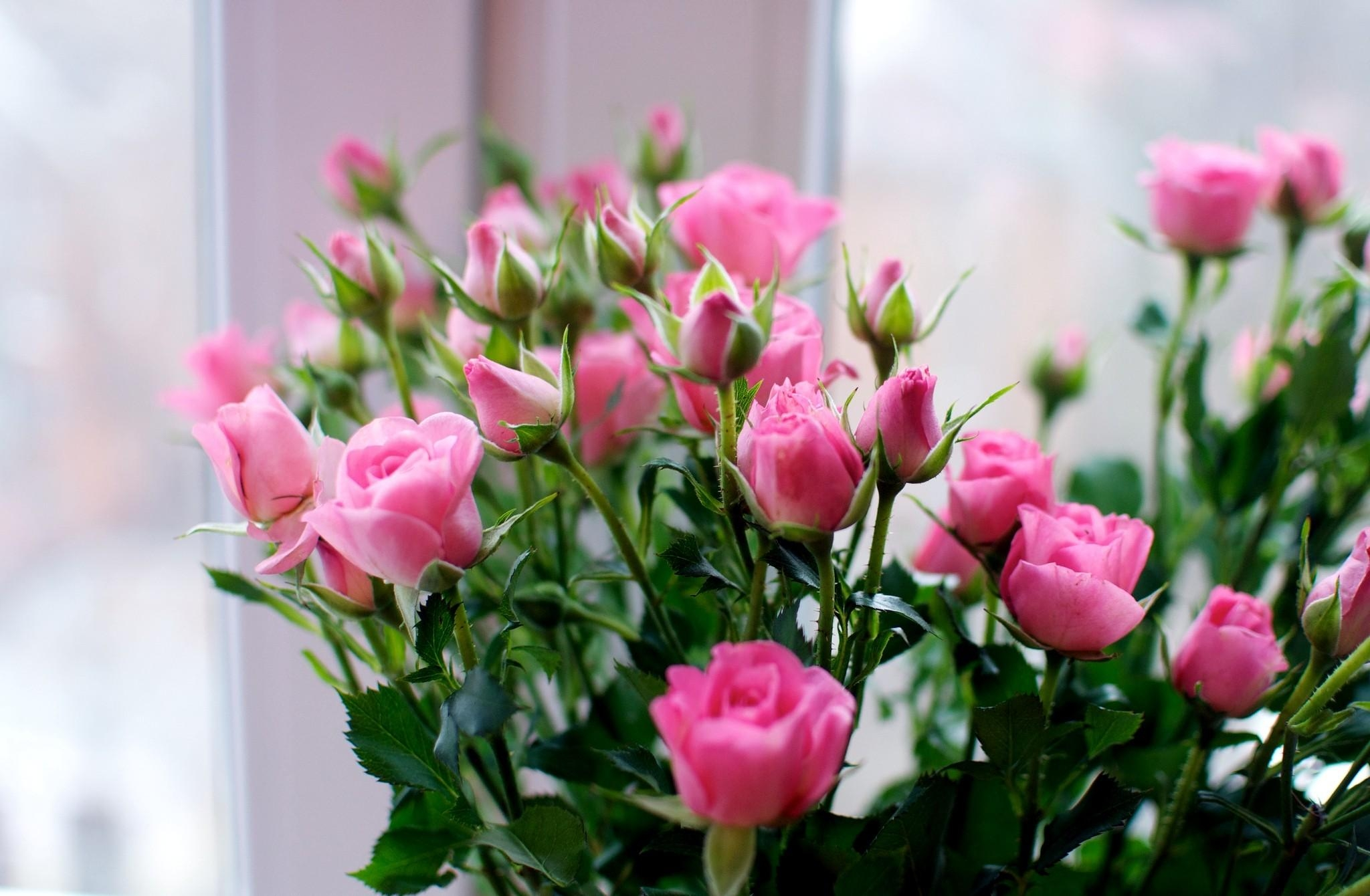 135584 Protetores de tela e papéis de parede Rosas em seu telefone. Baixe Rosas, Flores, Ramalhete, Buquê, Pequeno fotos gratuitamente