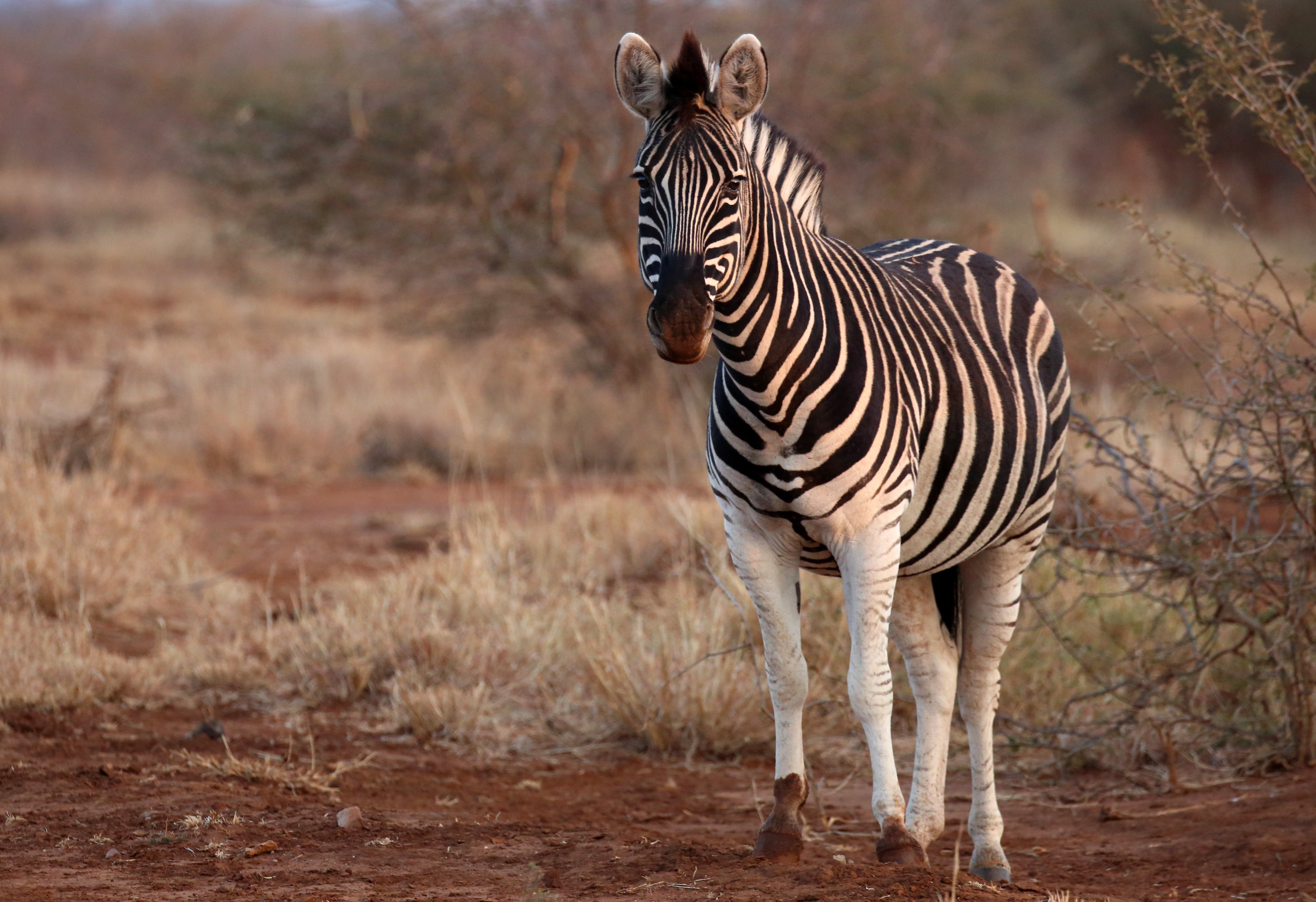 76290 download wallpaper Animals, Zebra, Animal, Wildlife, Safari screensavers and pictures for free