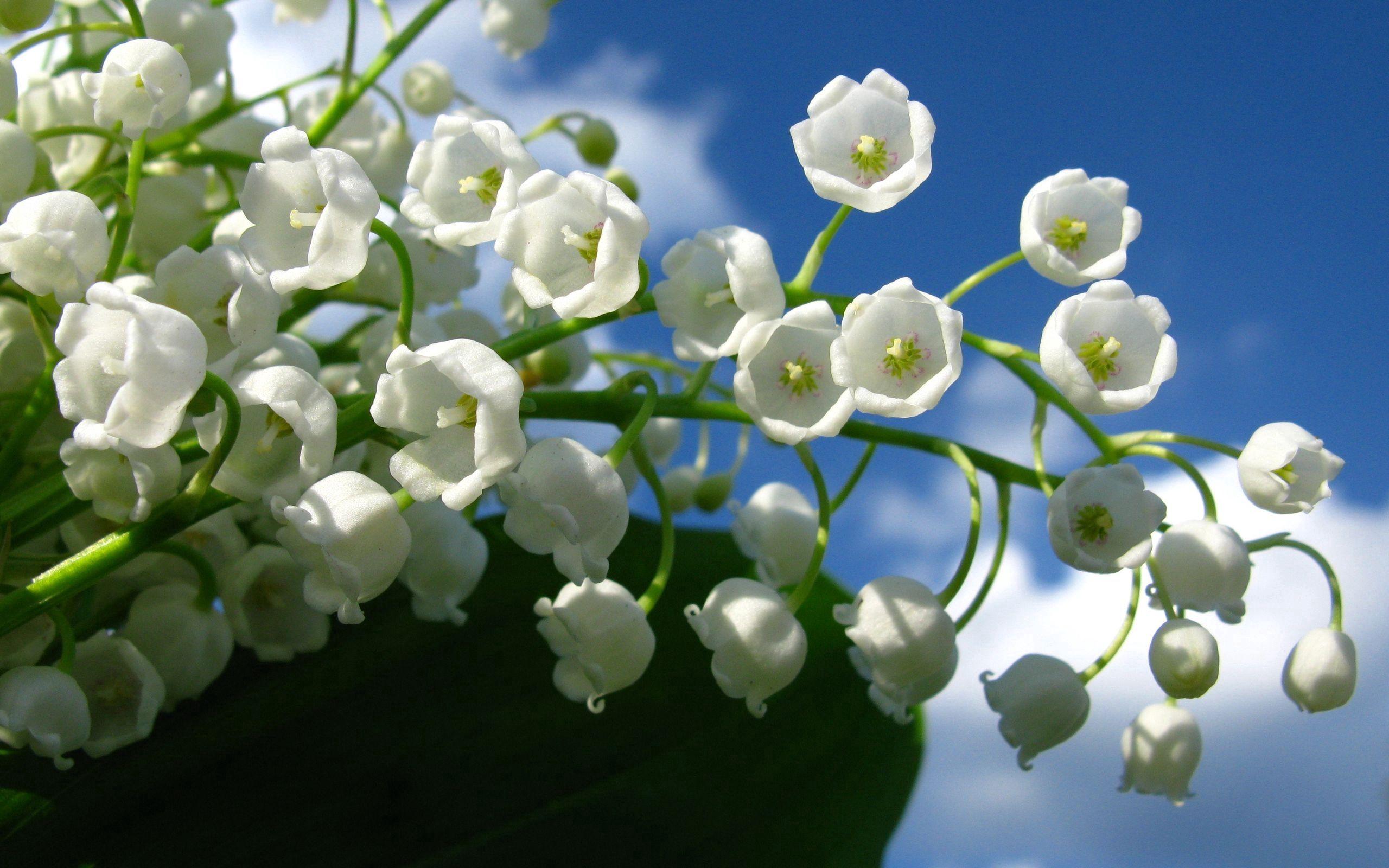 72007 Hintergrundbild herunterladen Blumen, Sky, Clouds, Glockenblumen, Maiglöckchen, Grüne, Grünen - Bildschirmschoner und Bilder kostenlos