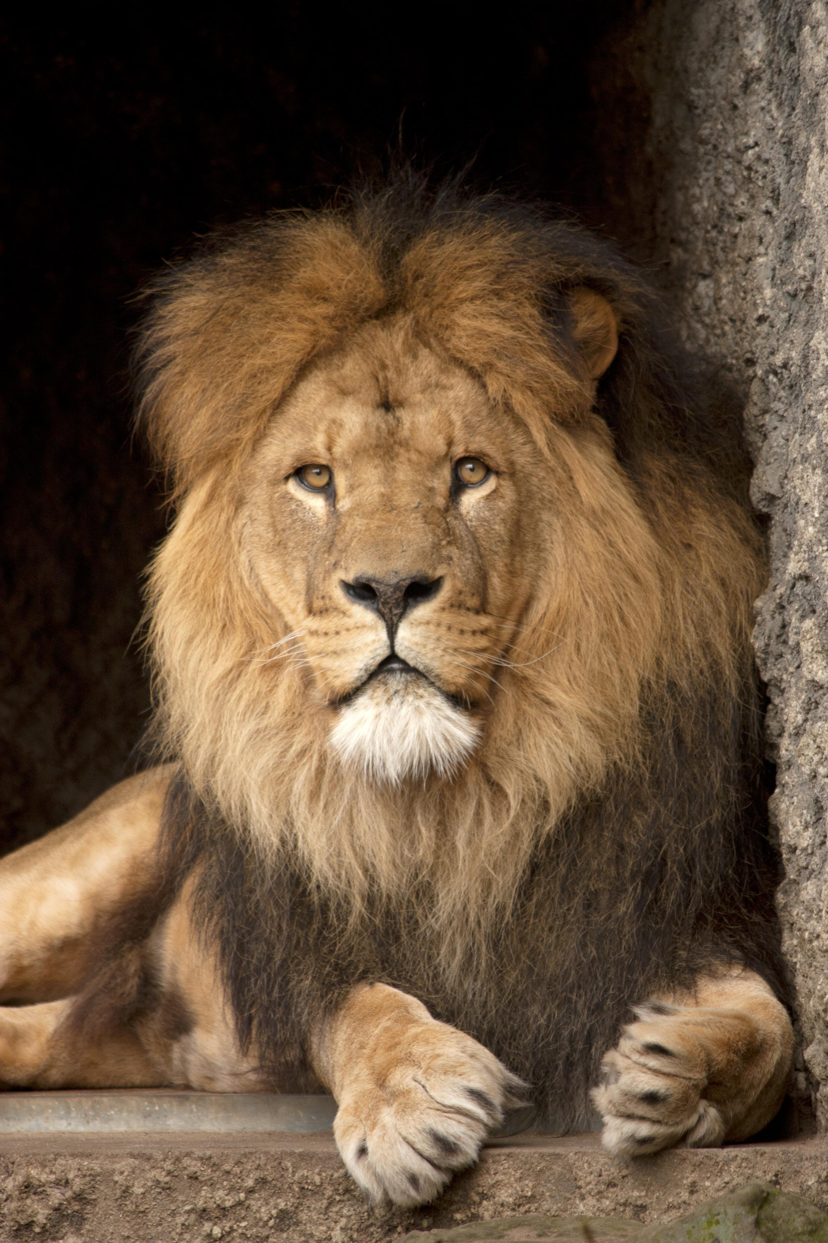 100711 Protetores de tela e papéis de parede Rei Das Feras em seu telefone. Baixe Animais, Leão, Um Leão, Predator, Predador, Gato Grande, Visão, Opinião, Rei Das Feras, Rei Das Bestas fotos gratuitamente