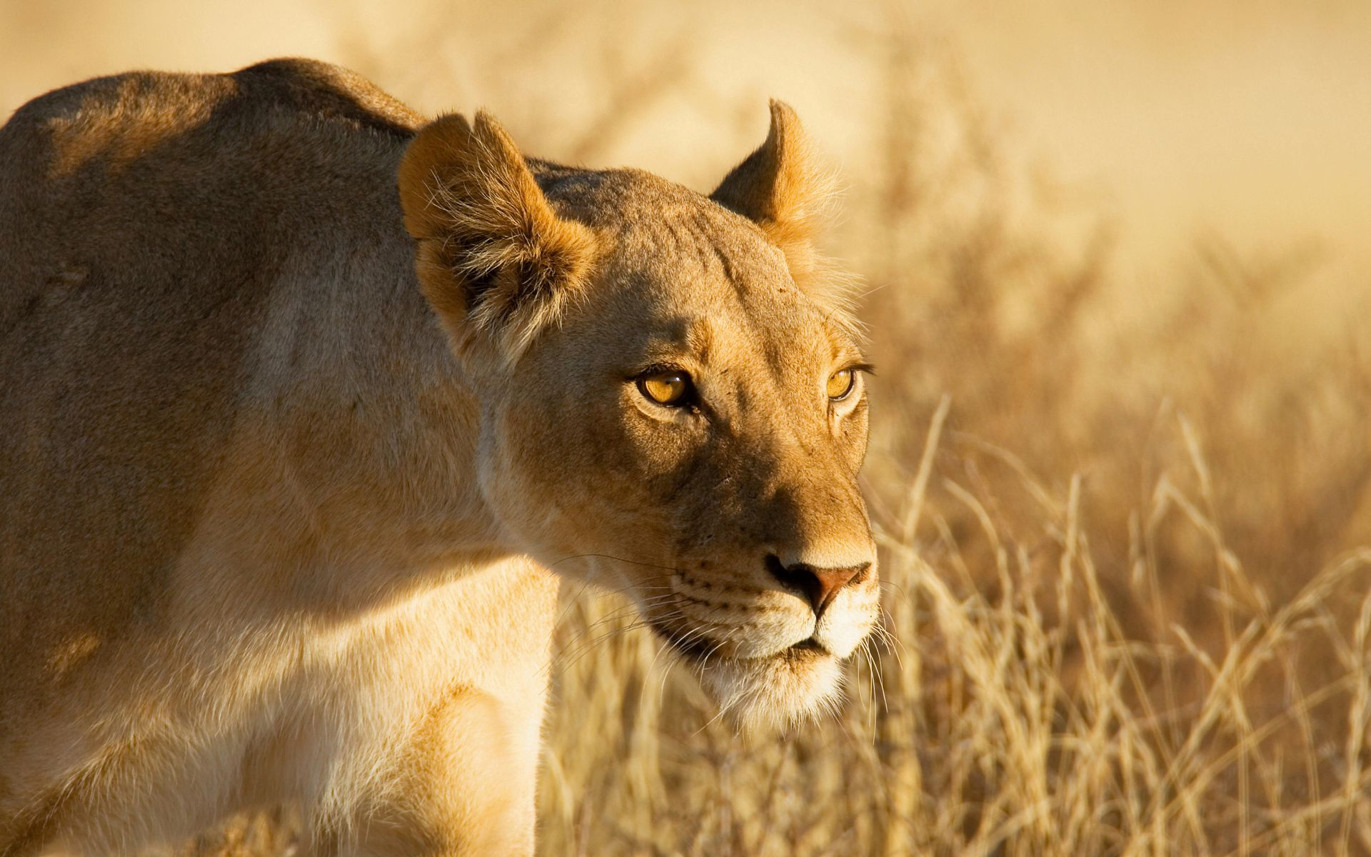 122499 download wallpaper Animals, Lioness, Muzzle, Danger, Hunting, Hunt screensavers and pictures for free